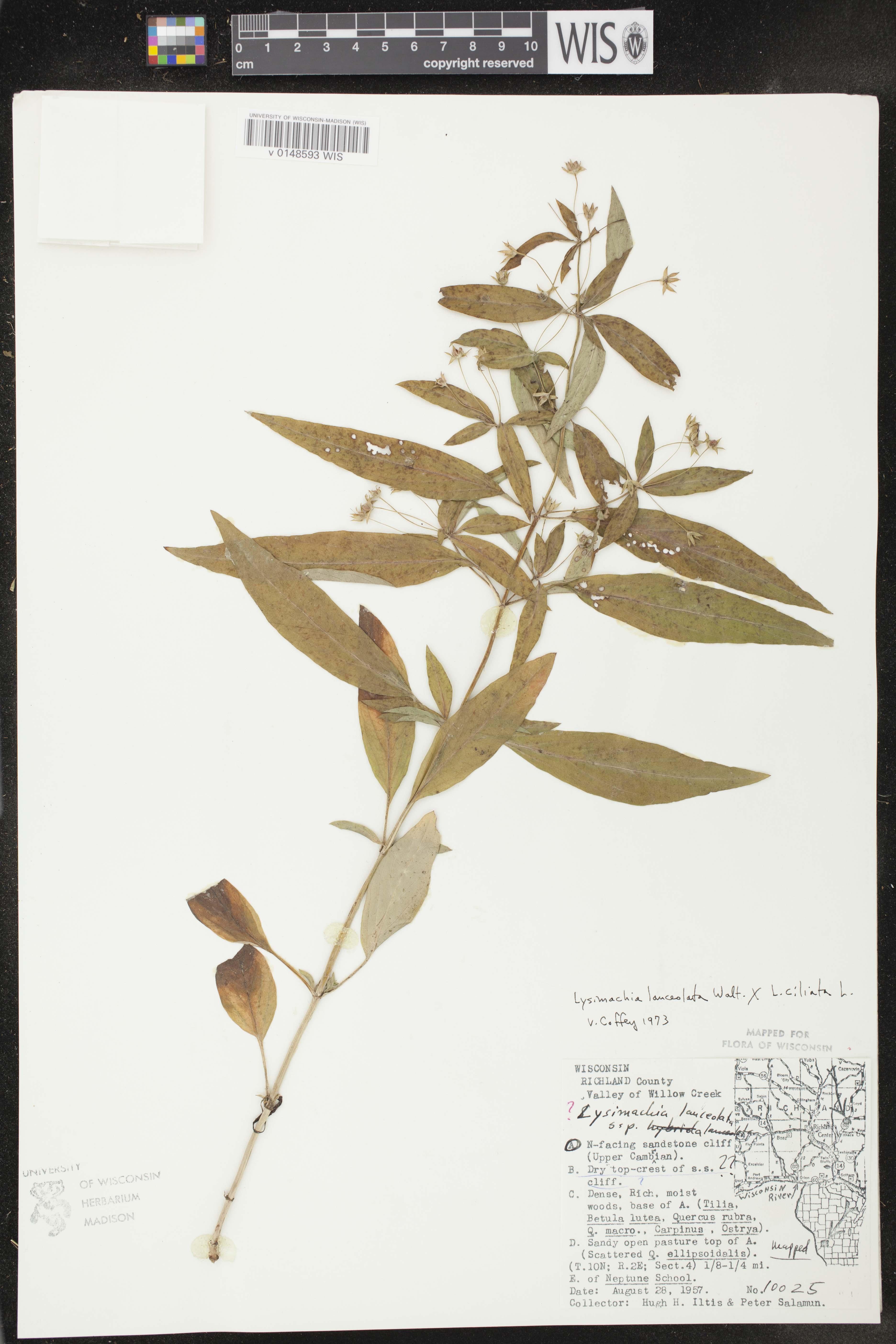 Image of Lysimachia ciliata x l. lanceolata