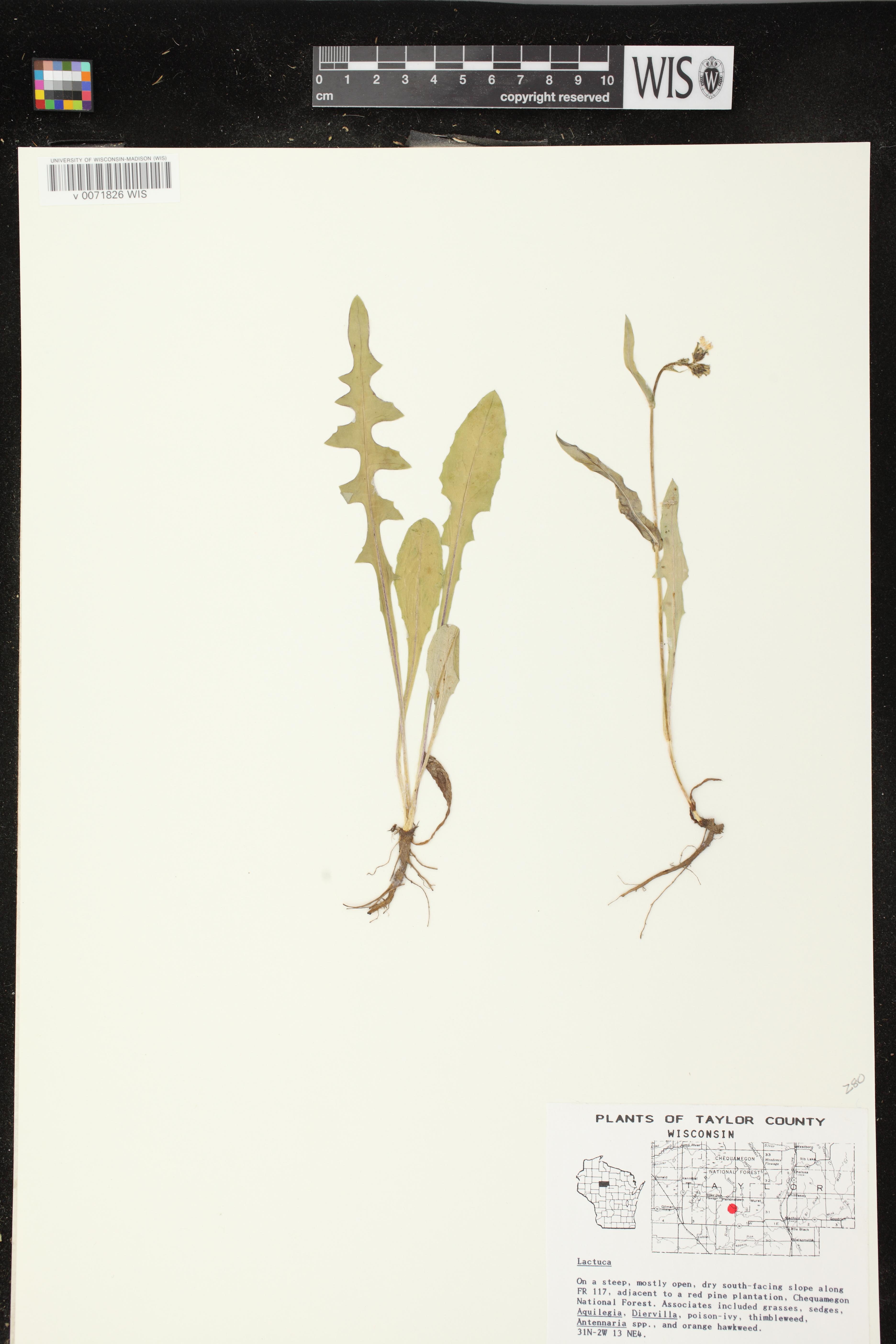 Image of Lactuca