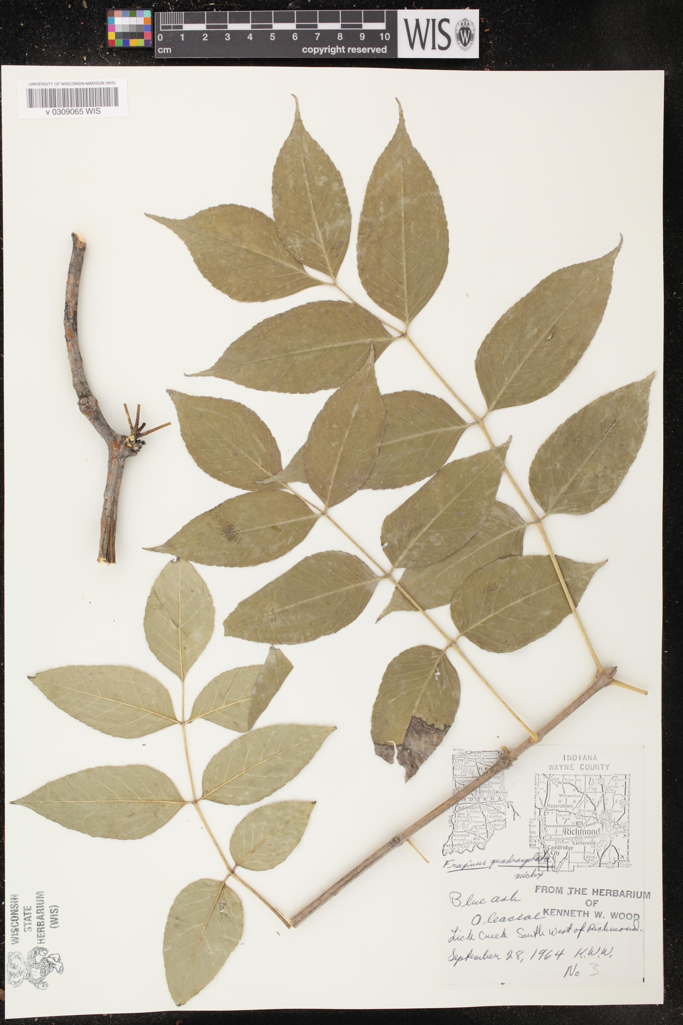Image of Fraxinus quadrangulata