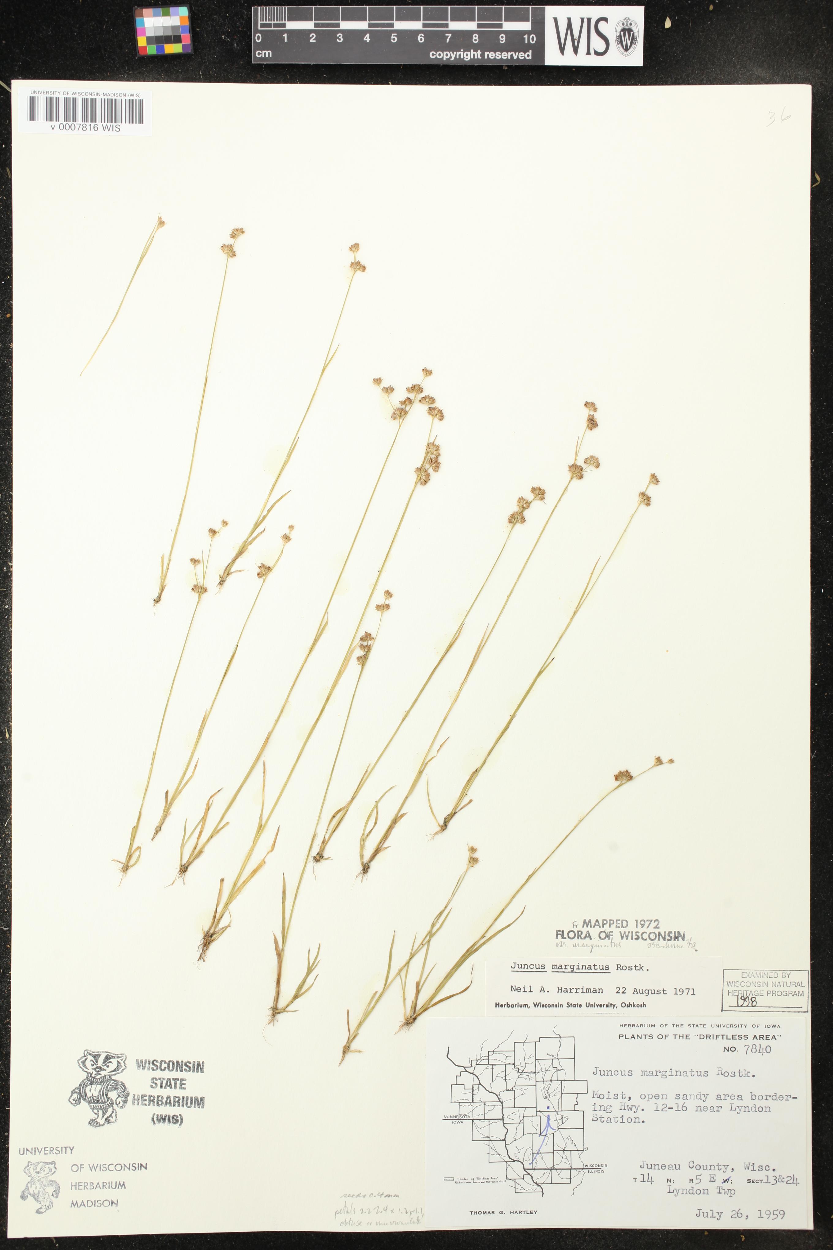 Image of Juncus marginatus