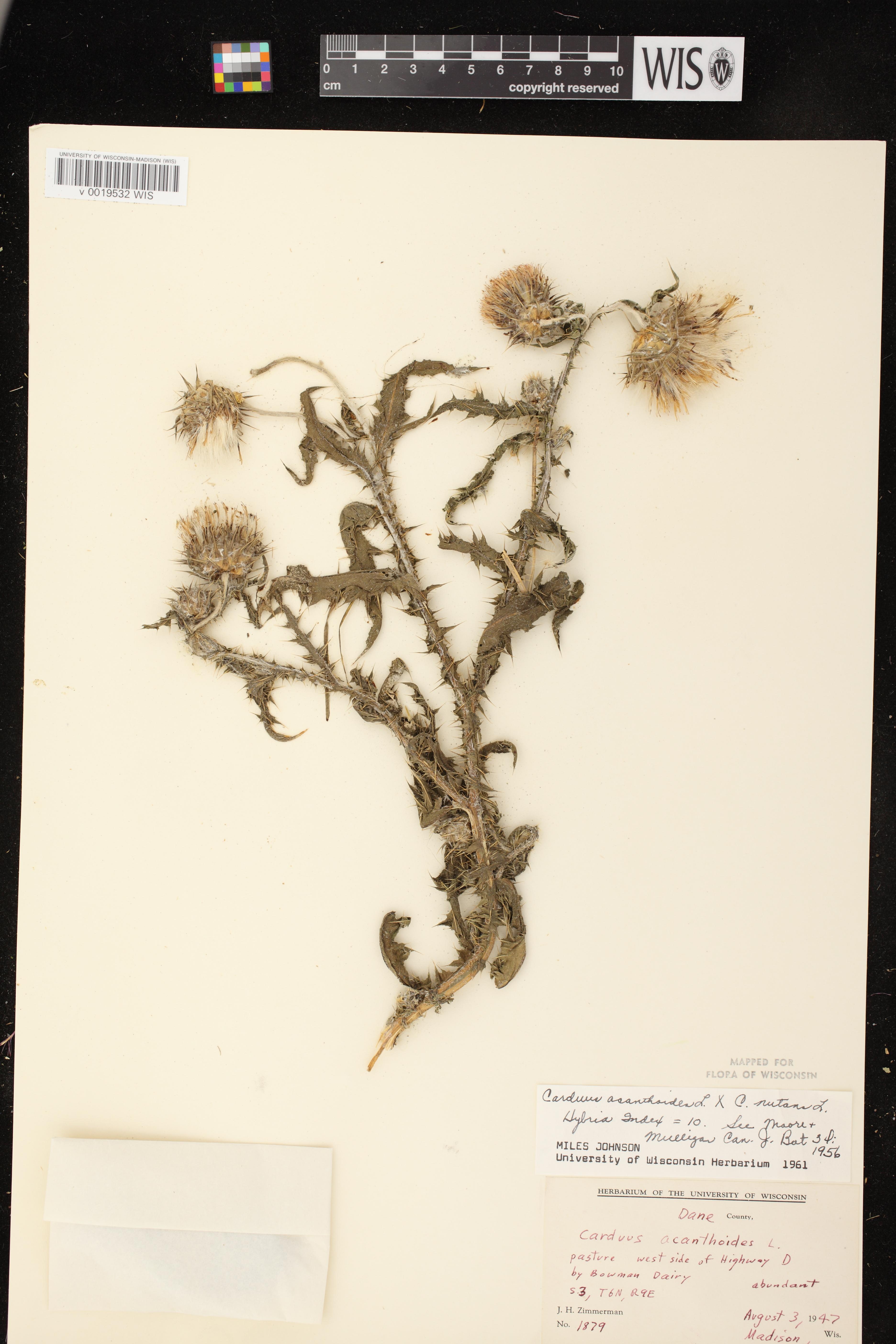 Image of Carduus x orthocephalus