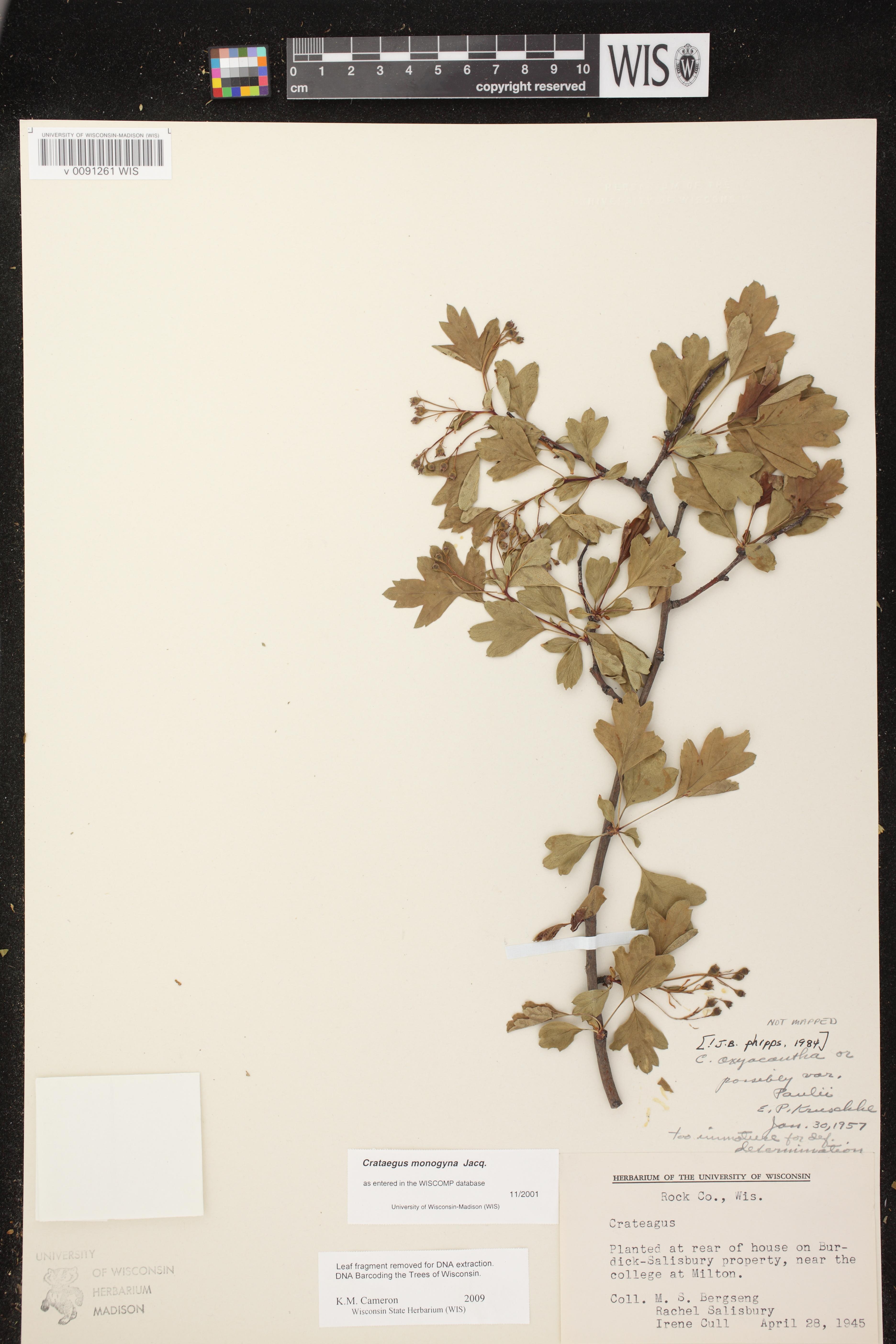 Image of Crataegus monogyna var. monogyna