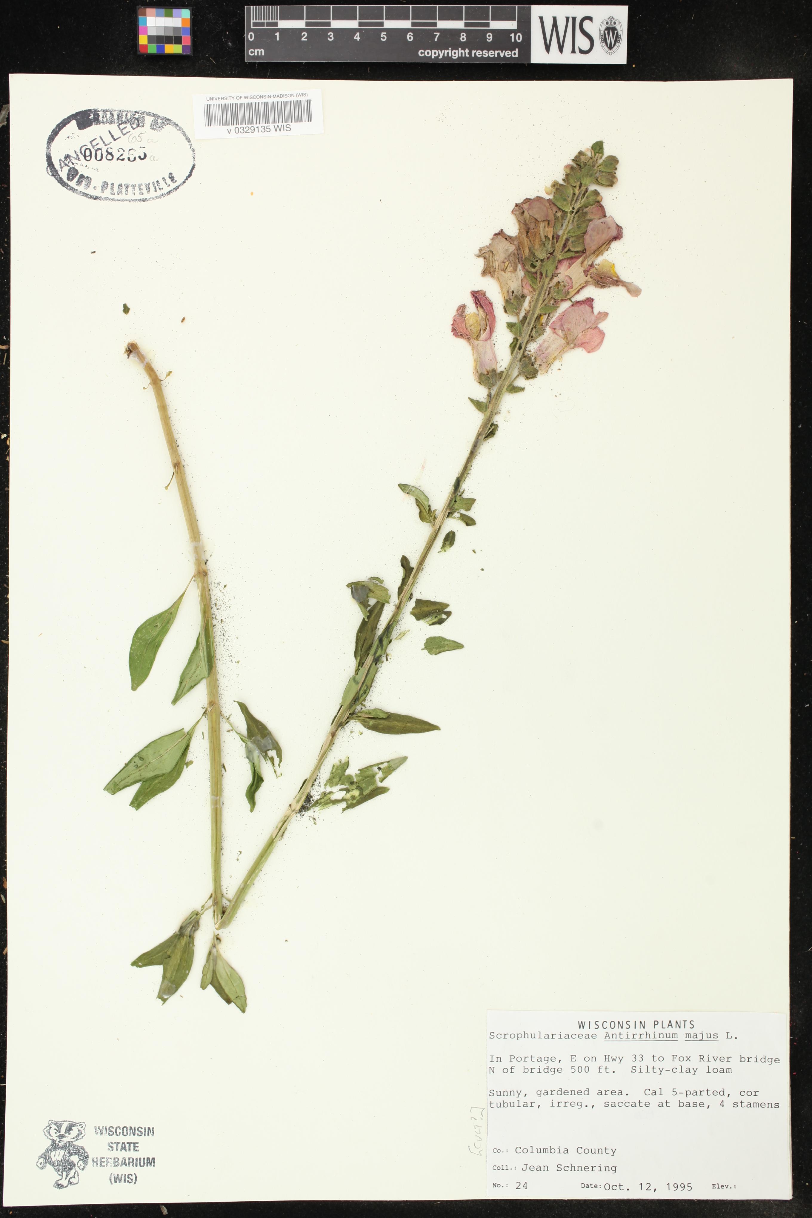 Image of Antirrhinum majus