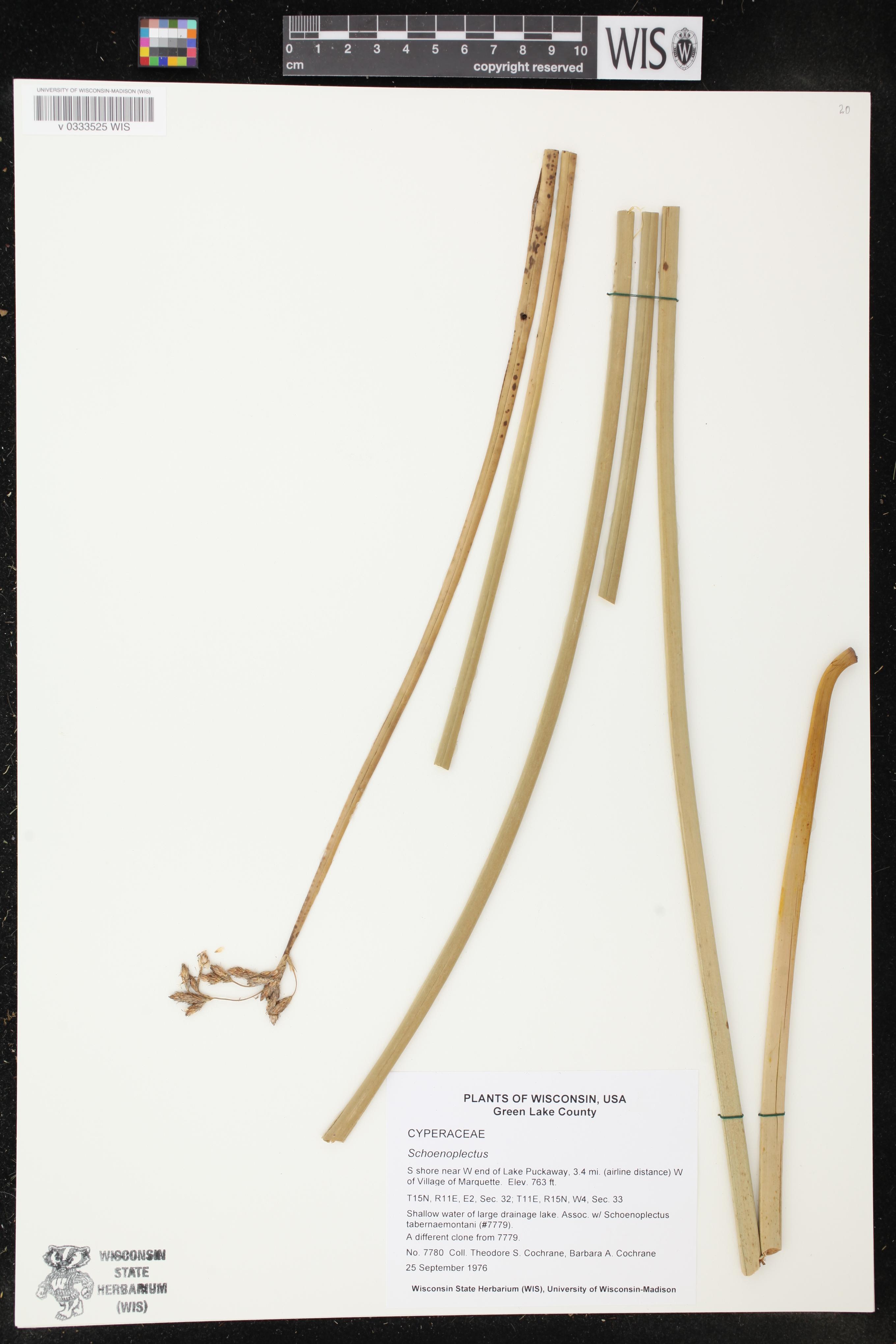 Image of Schoenoplectus
