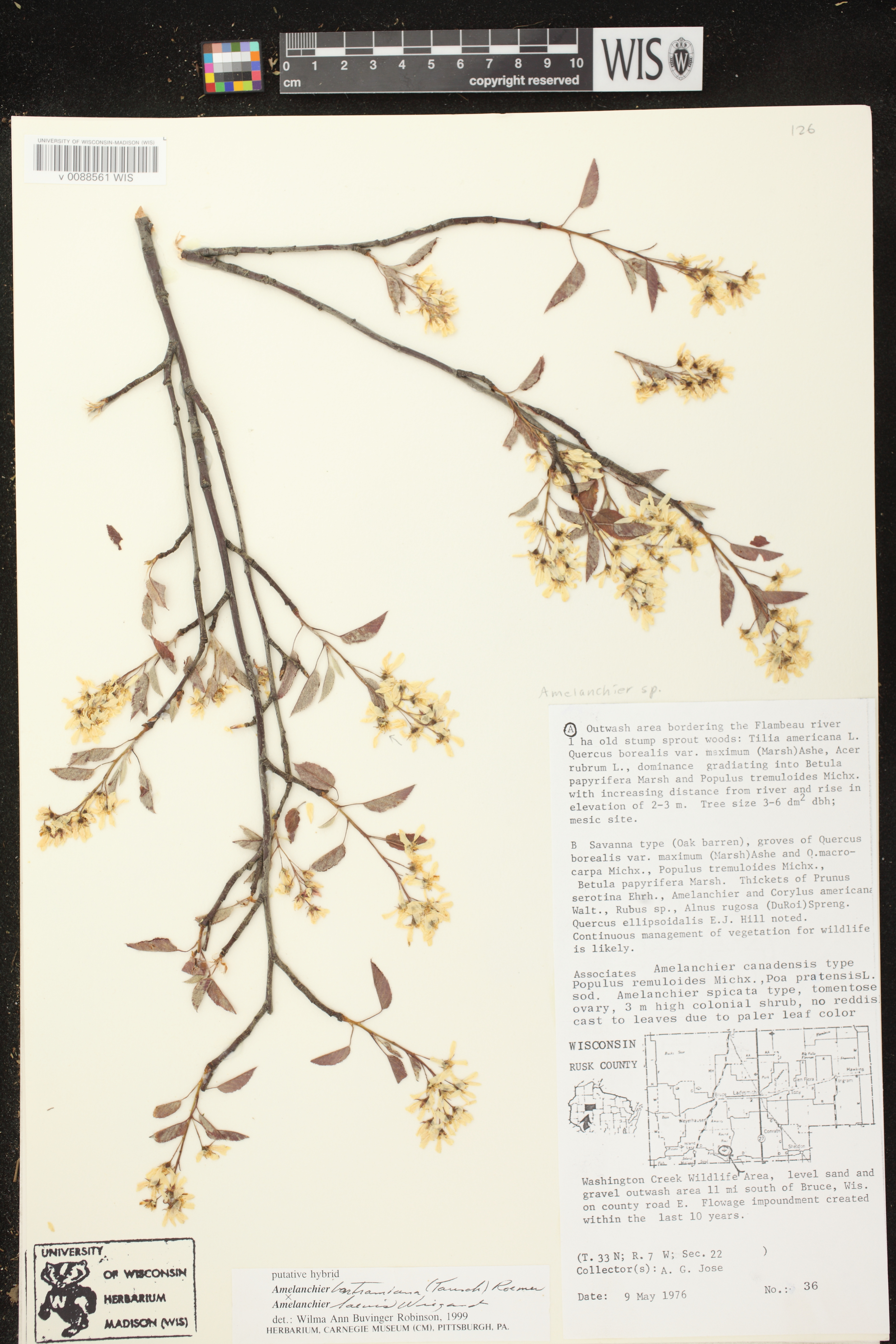 Image of Amelanchier bartramiana x a. laevis
