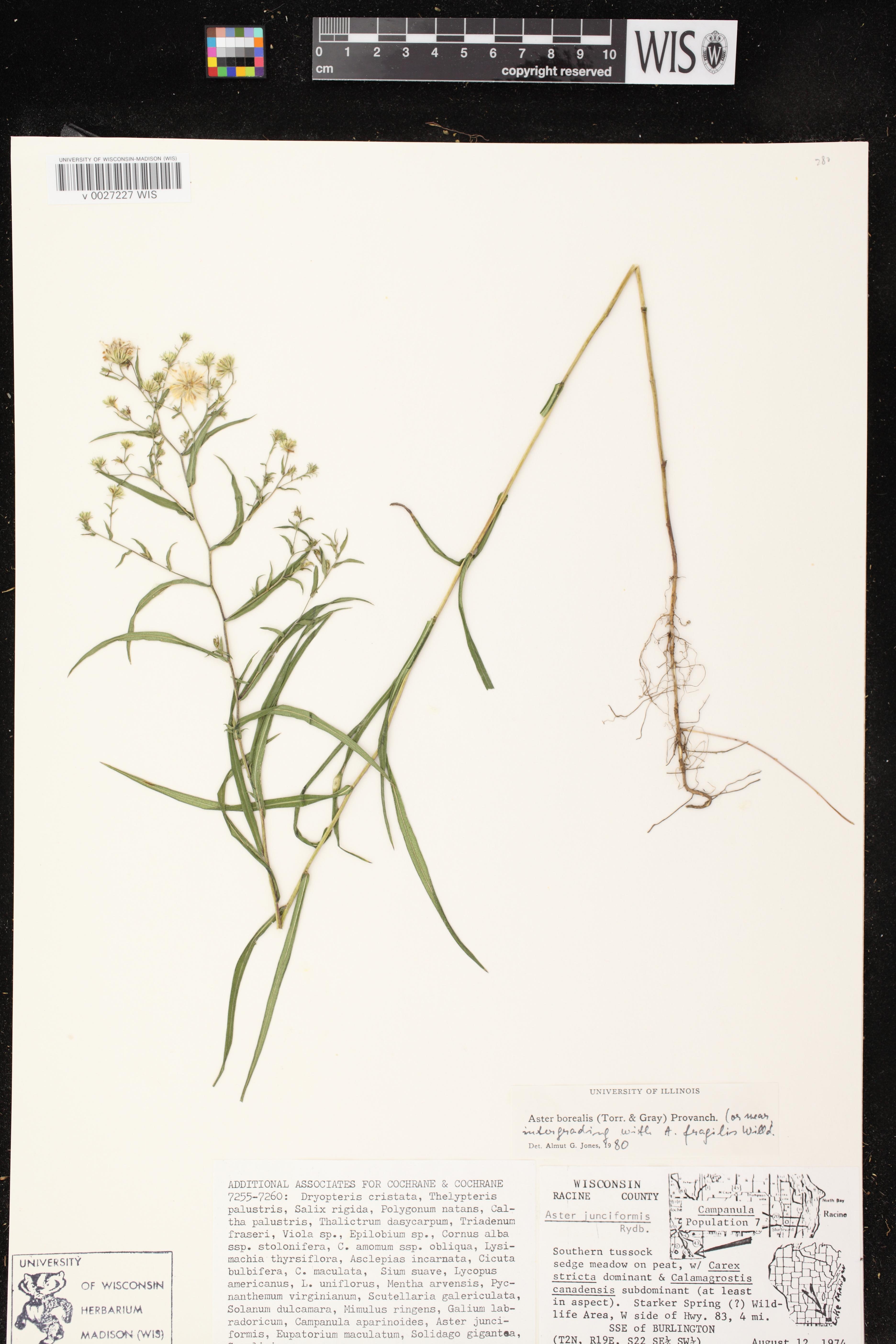 Image of Symphyotrichum boreale x s. racemosum