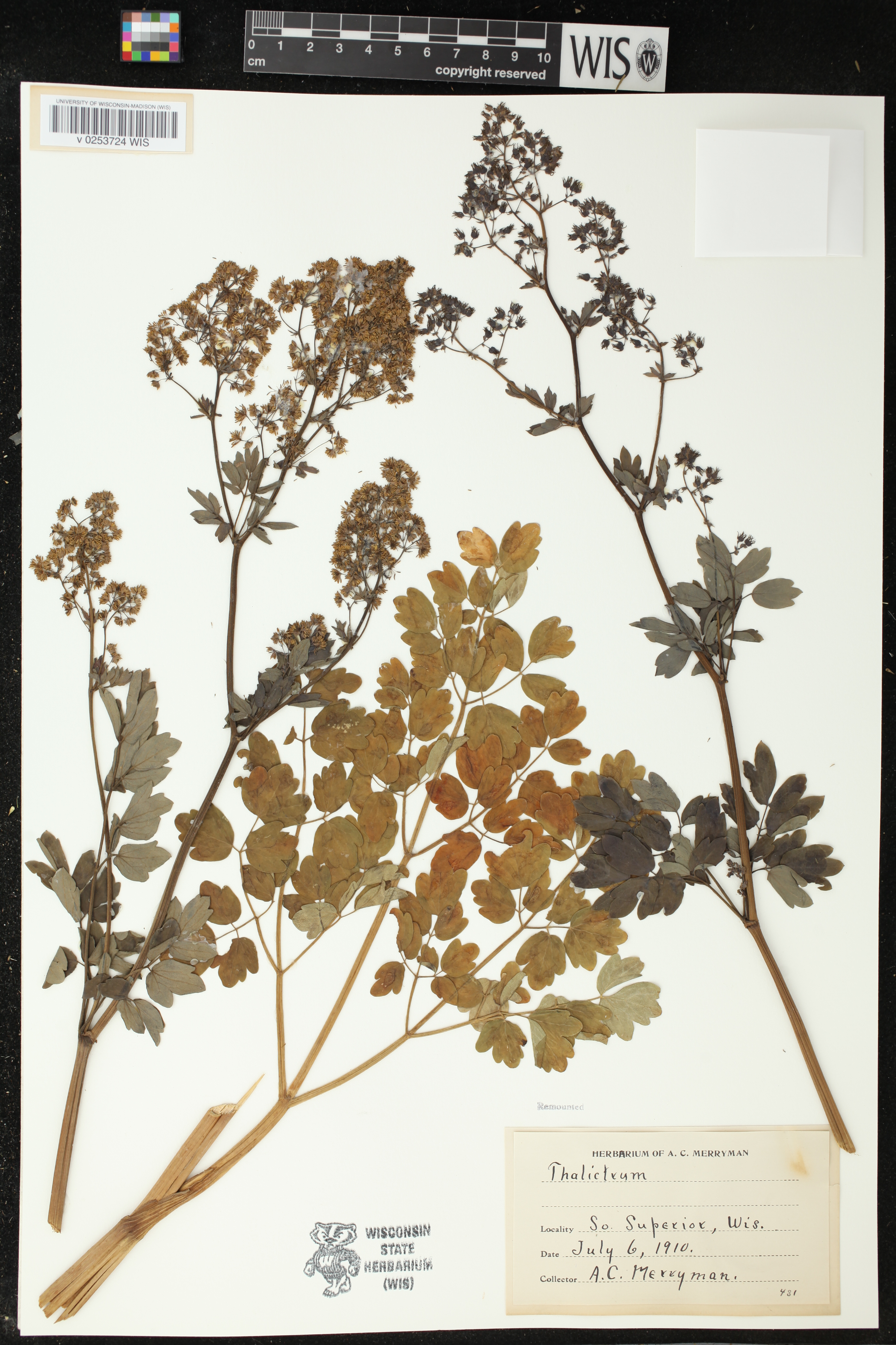 Image of Thalictrum