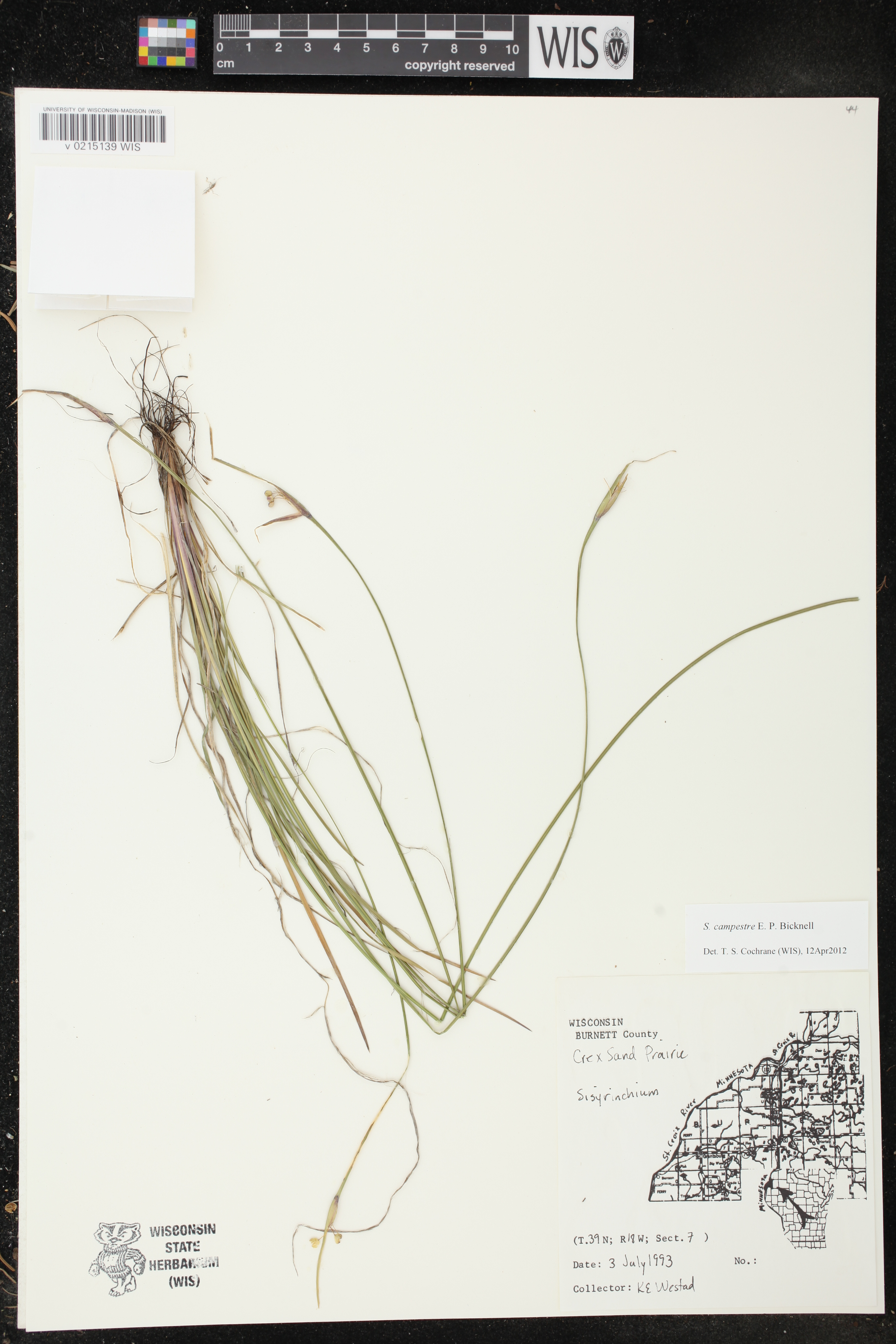 Image of Sisyrinchium