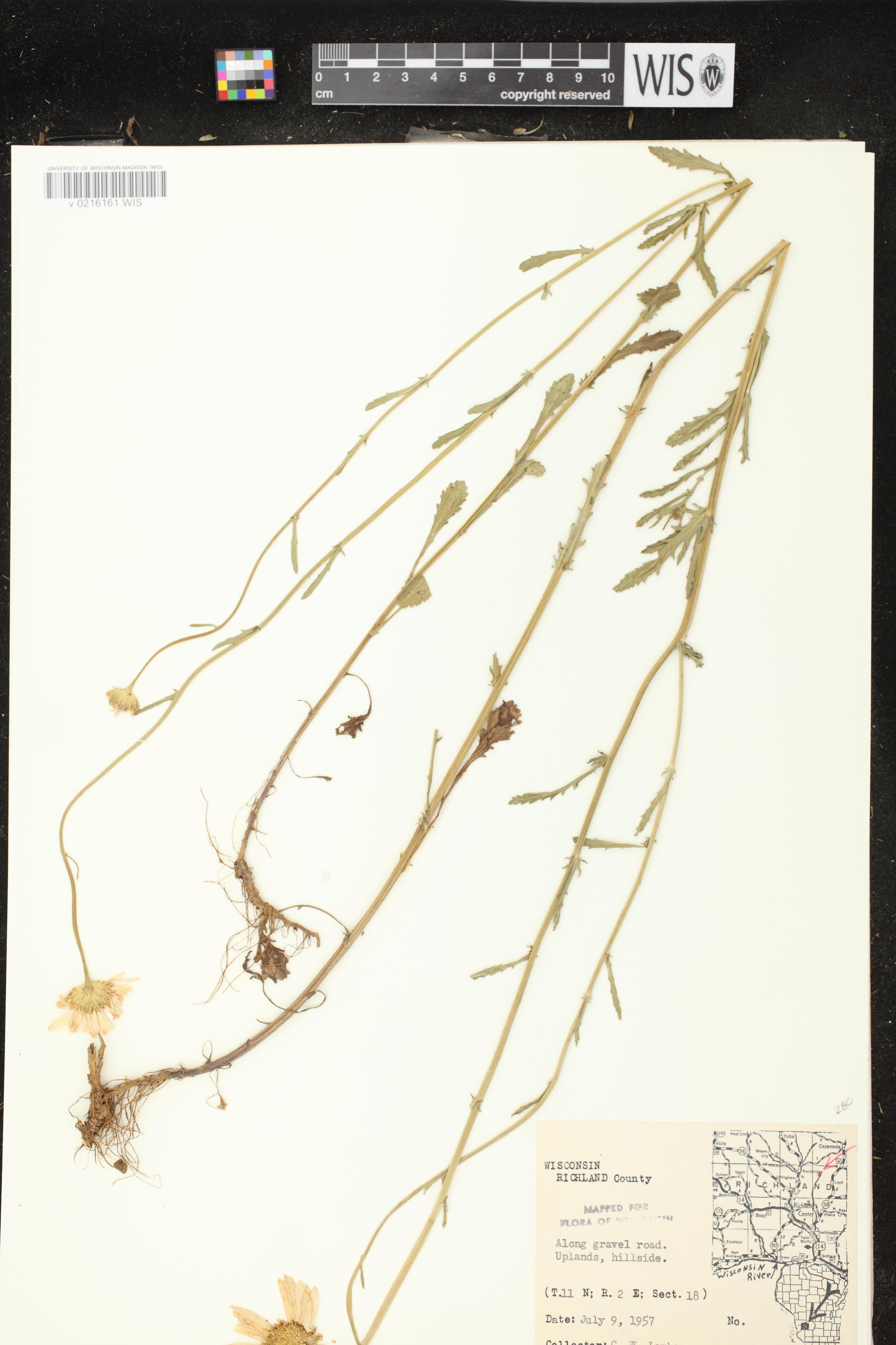 Image of Leucanthemum