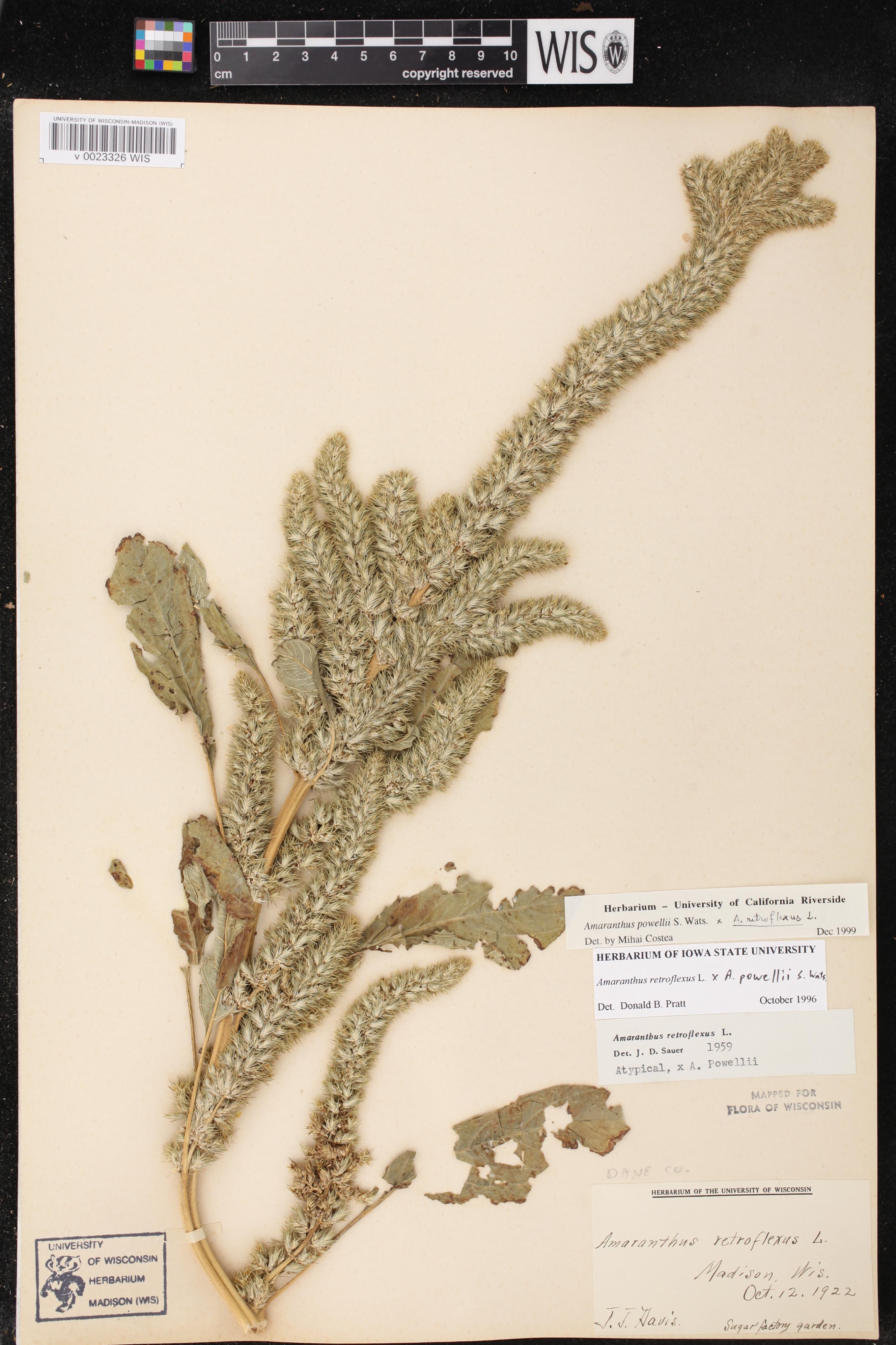 Image of Amaranthus powellii x a. retroflexus