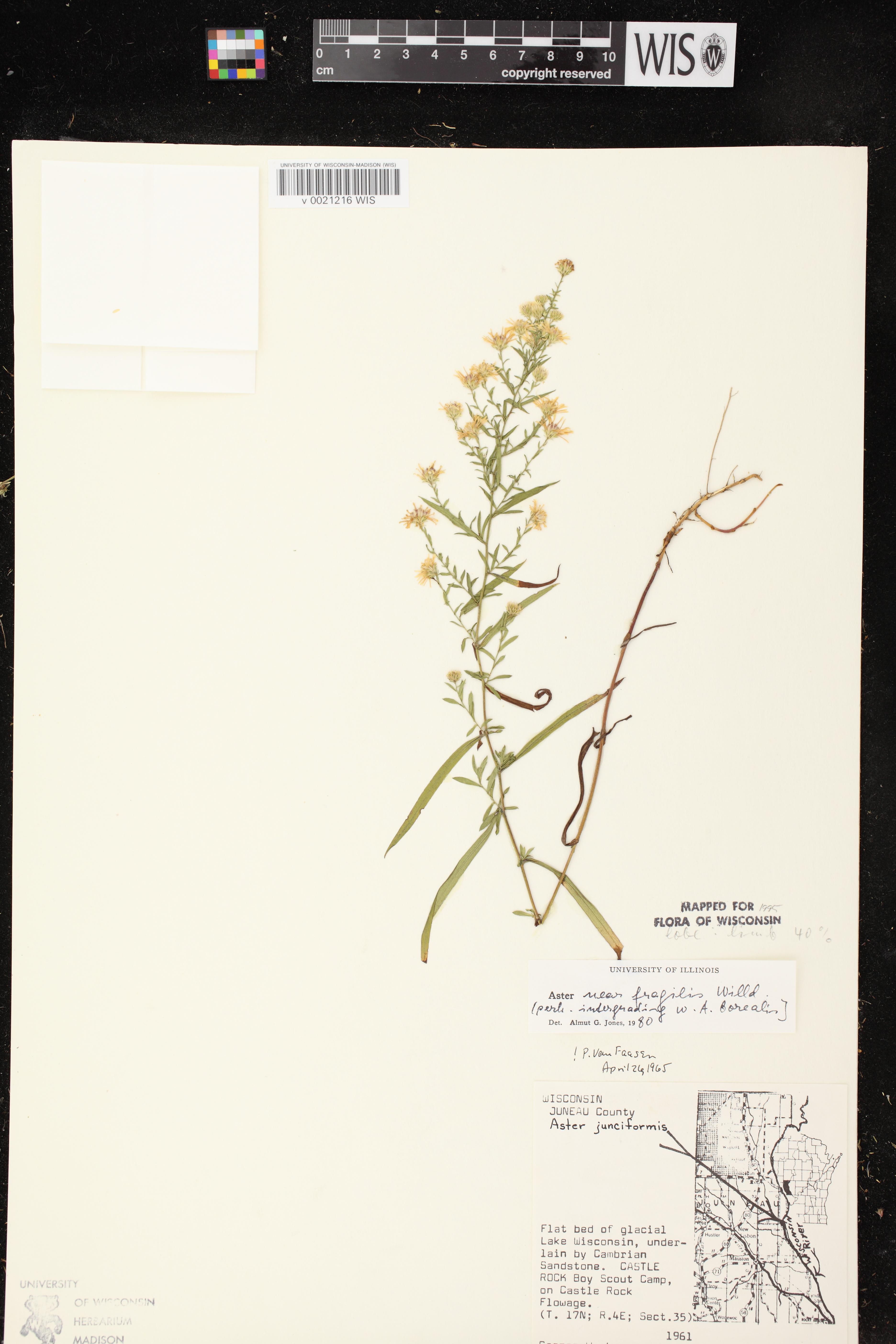 Image of Symphyotrichum racemosum