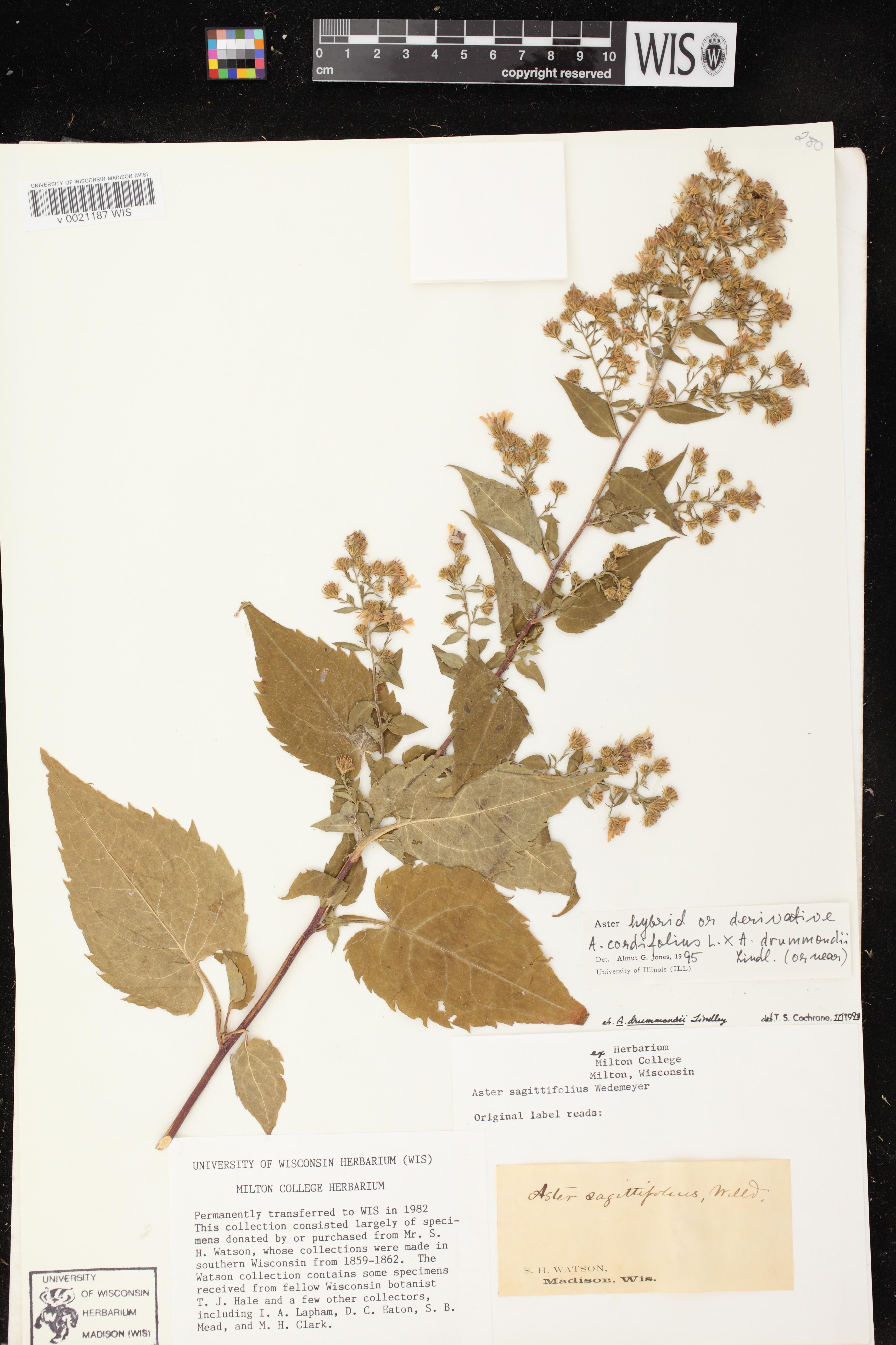 Image of Symphyotrichum cordifolium x s. drummondii