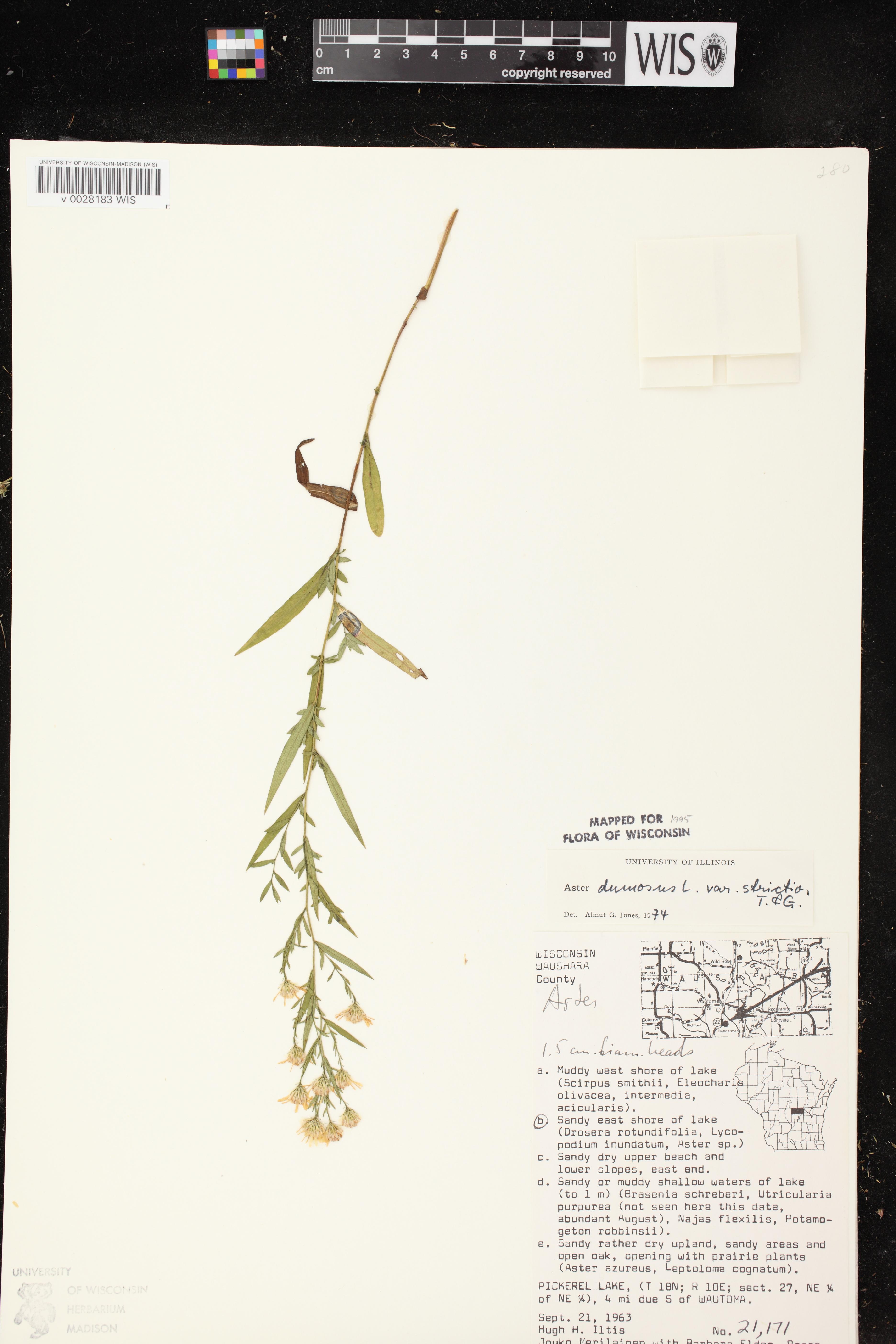 Image of Symphyotrichum dumosum