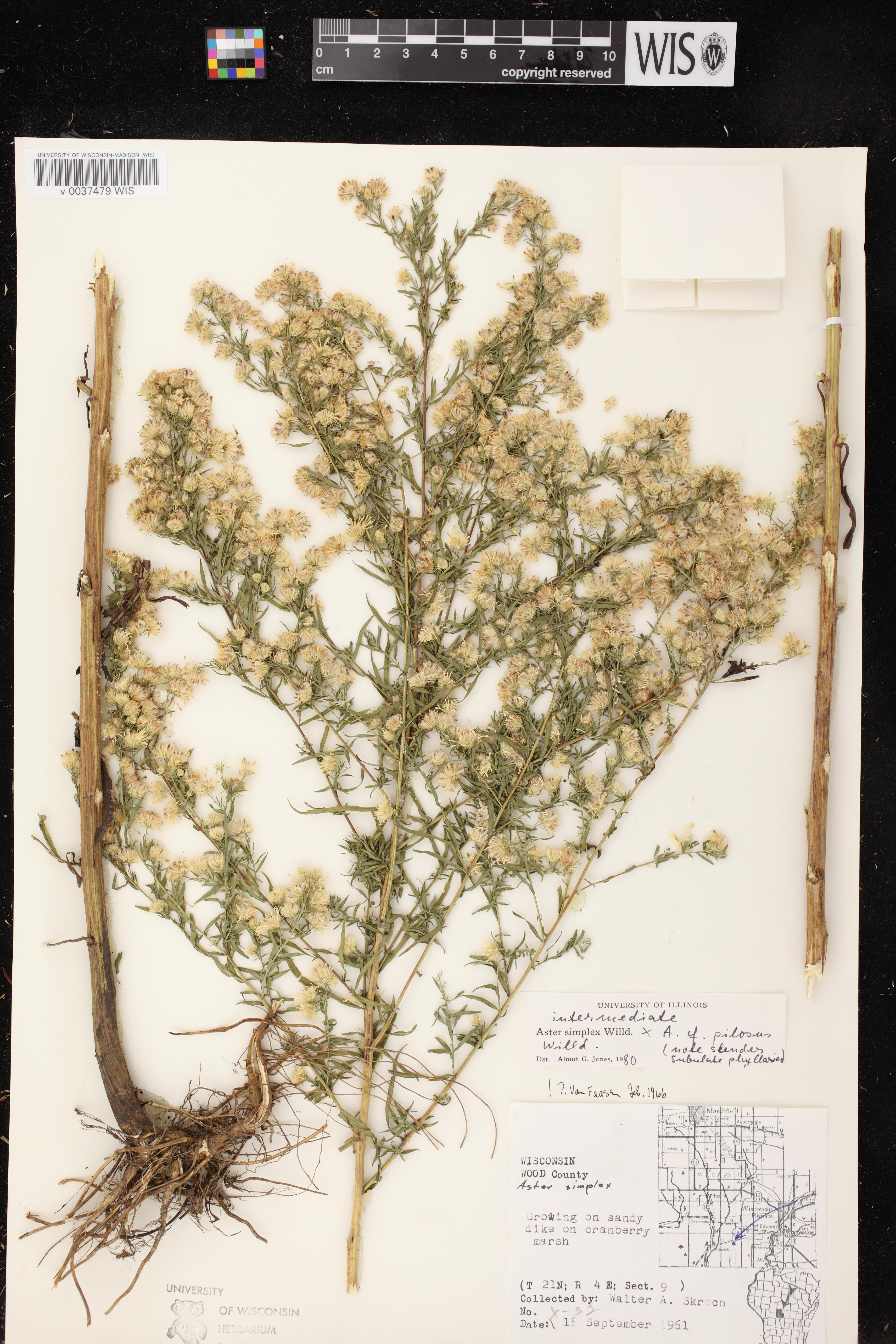 Image of Symphyotrichum lanceolatum var. lanceolatum x s. pilosum