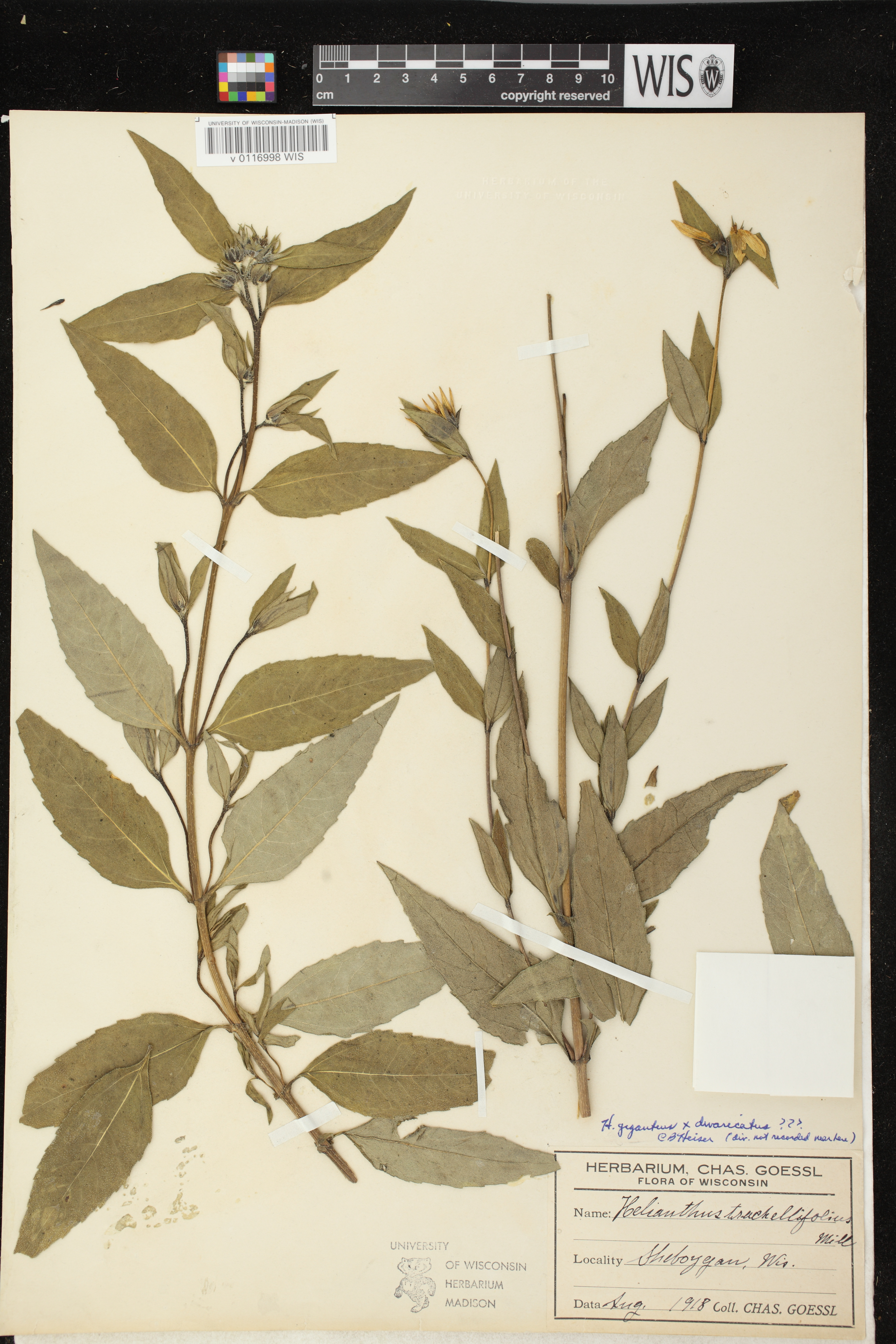 Image of Helianthus x ambiguus