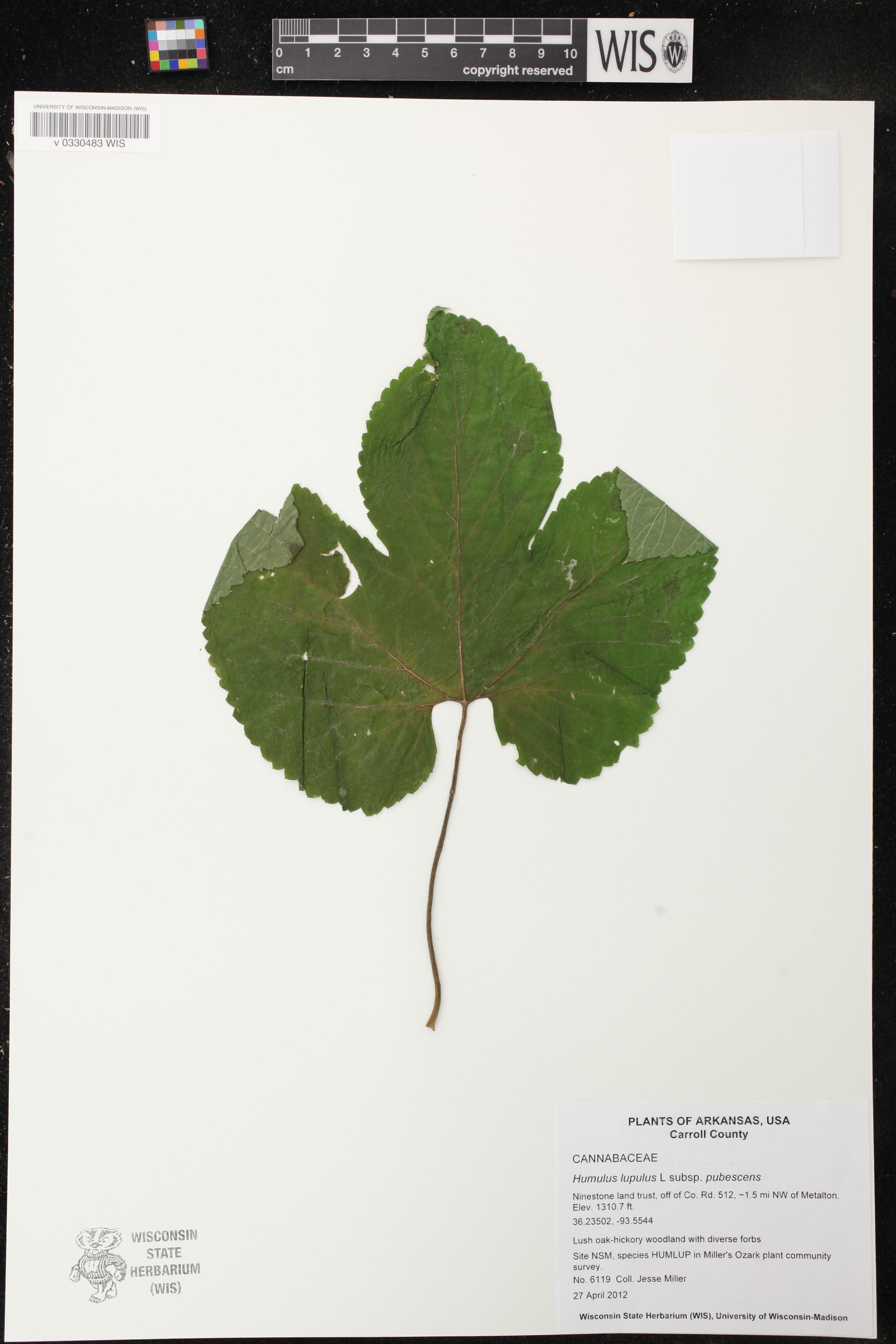 Image of Humulus lupulus var. pubescens