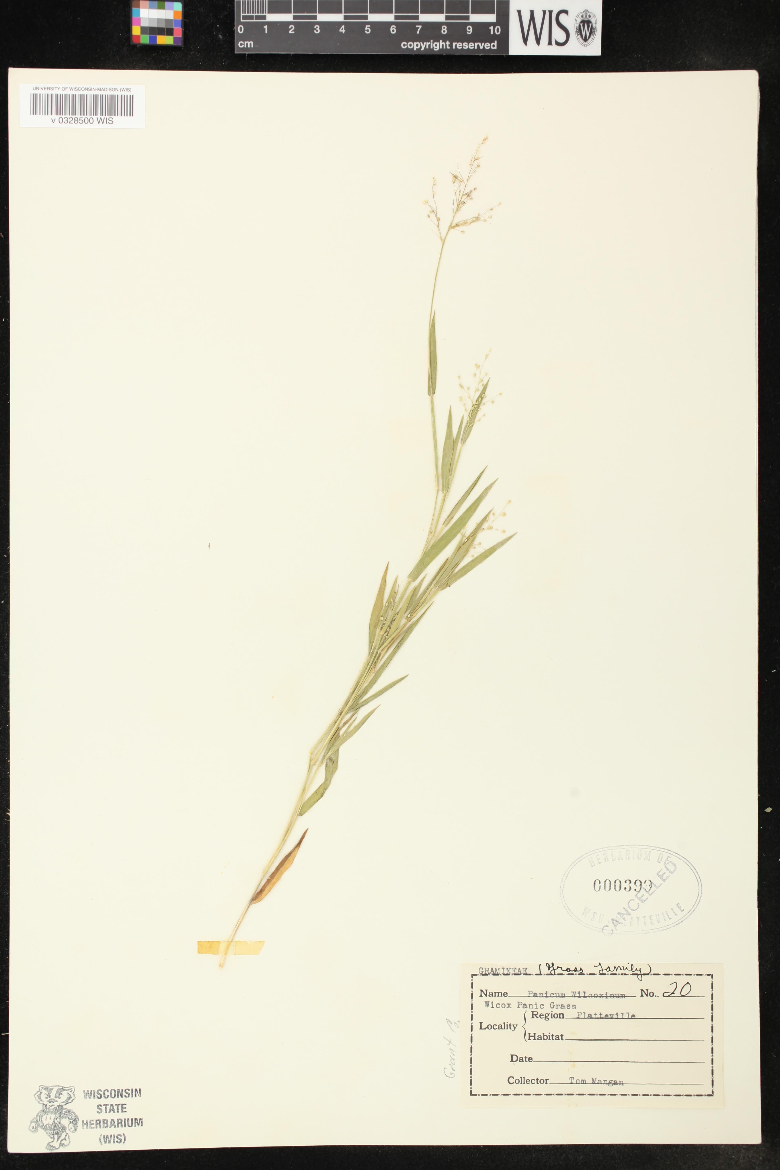Image of Dichanthelium wilcoxianum