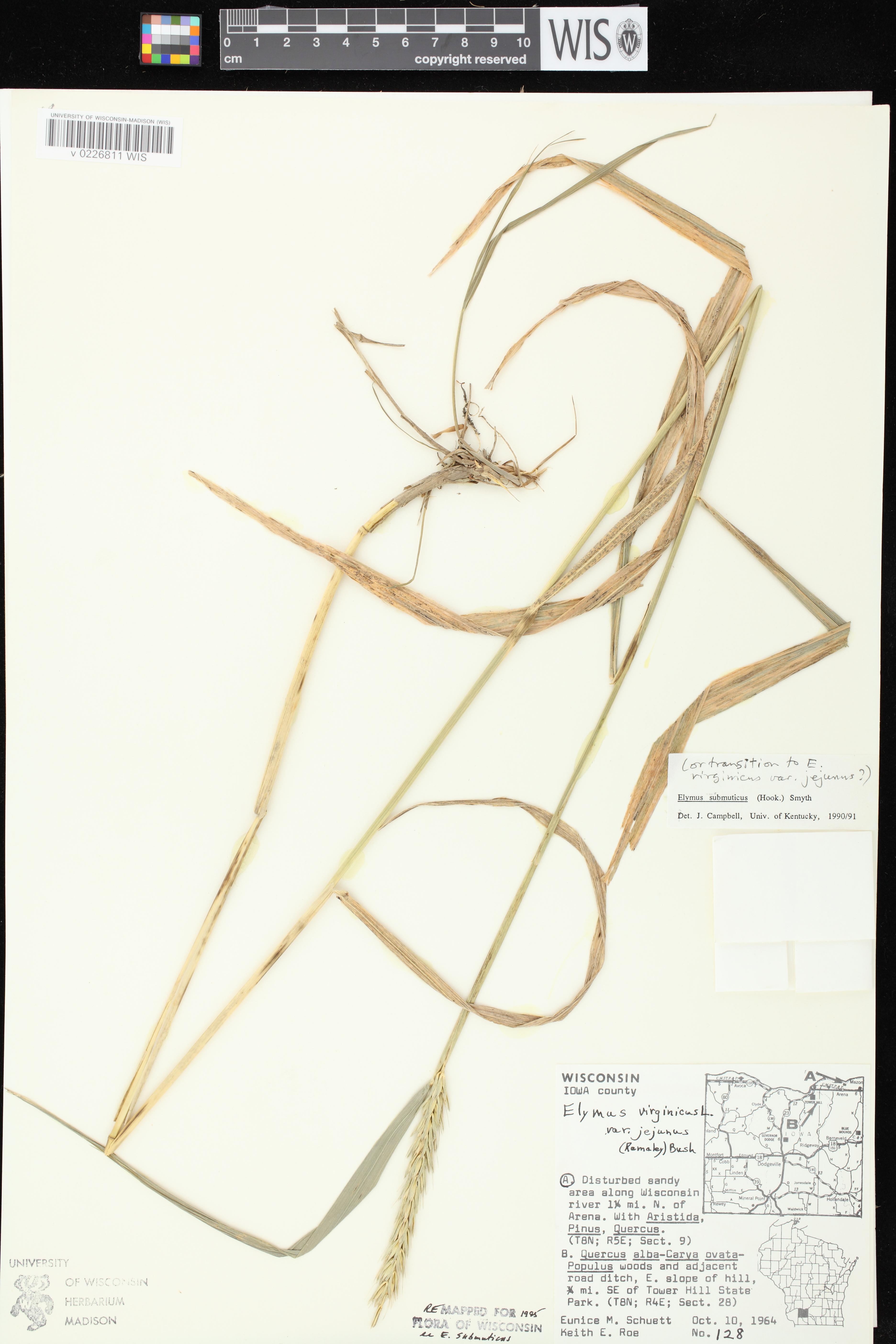 Image of Elymus curvatus