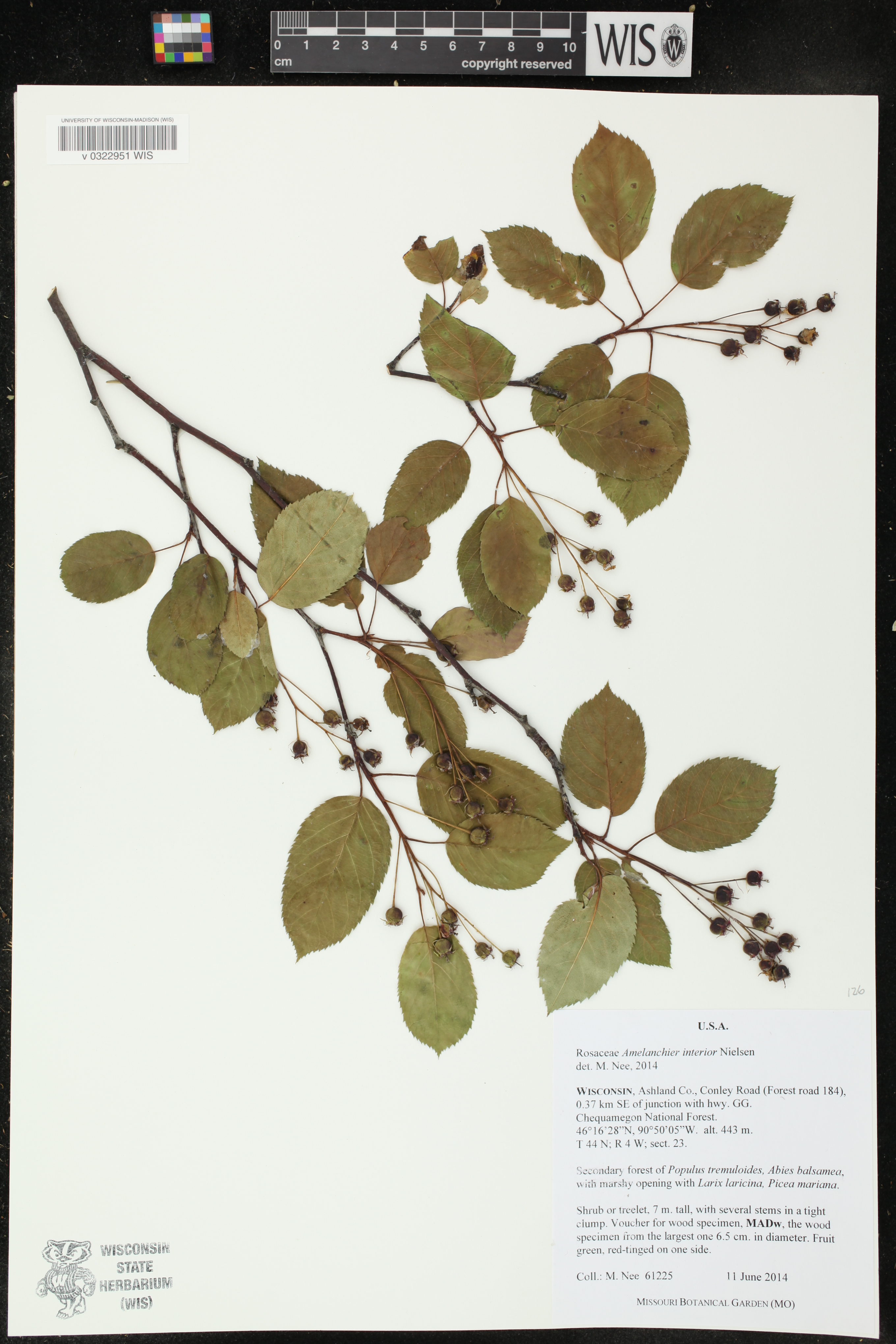 Image of Amelanchier interior