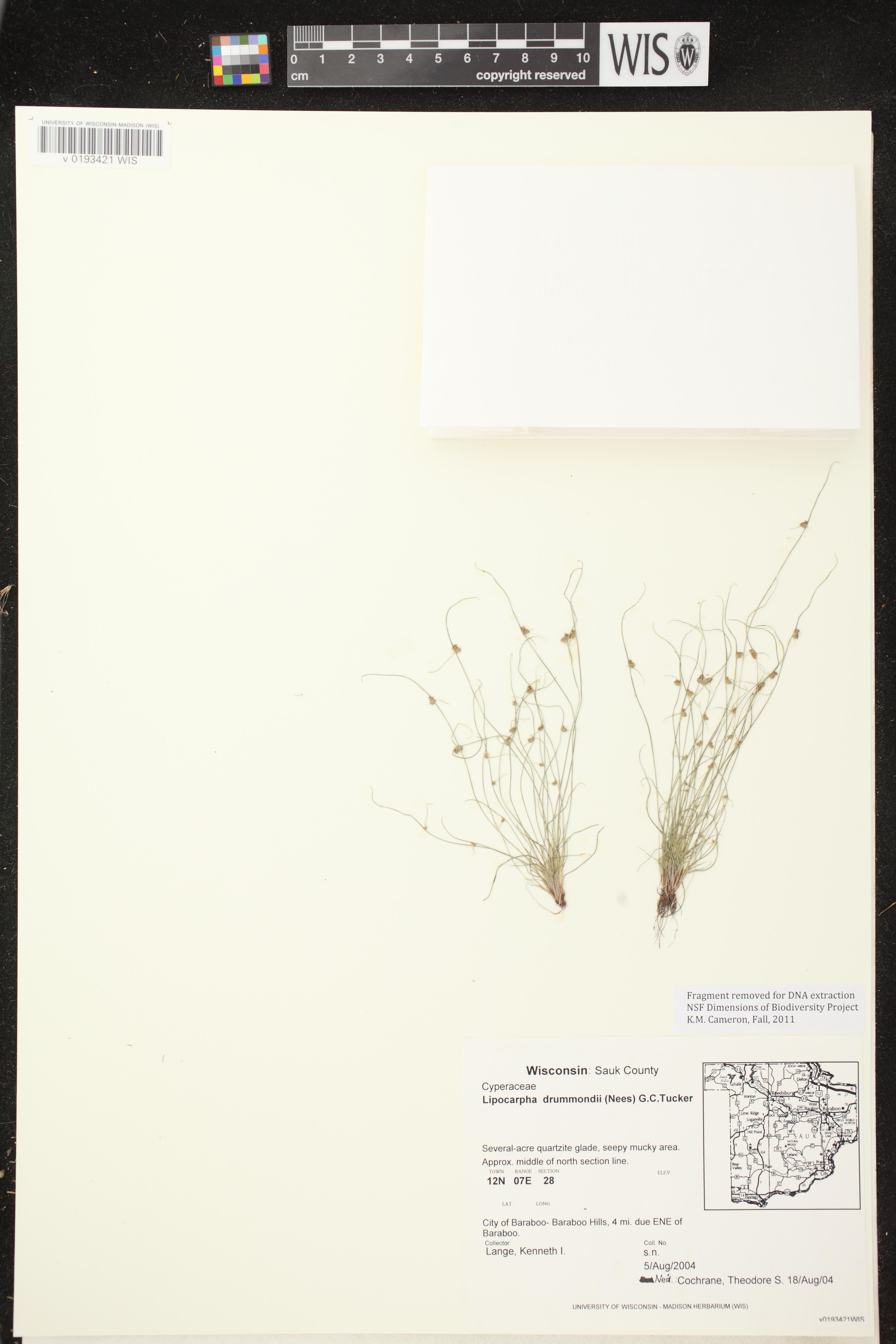 Image of Lipocarpha drummondii
