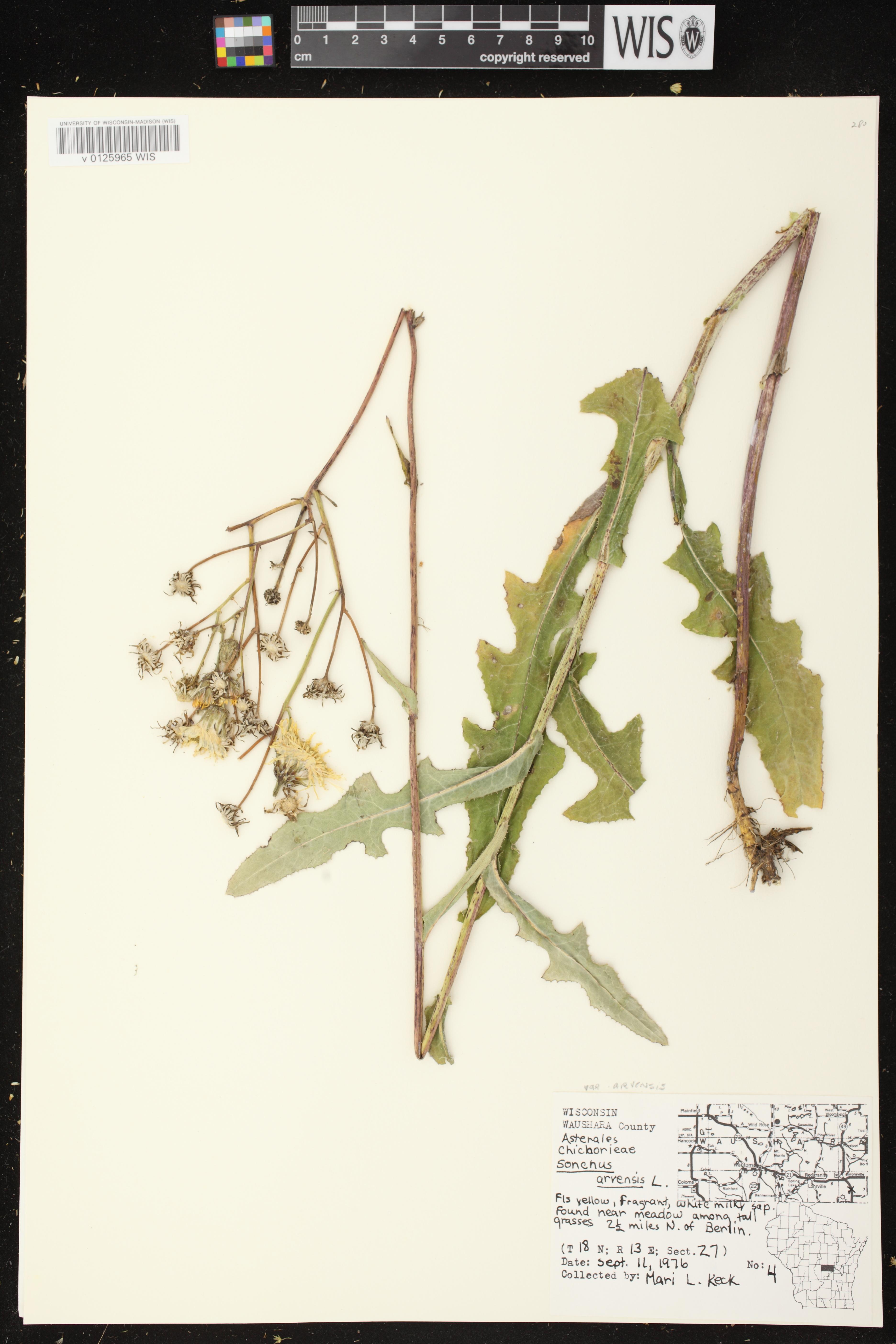 Image of Sonchus arvensis subsp. arvensis