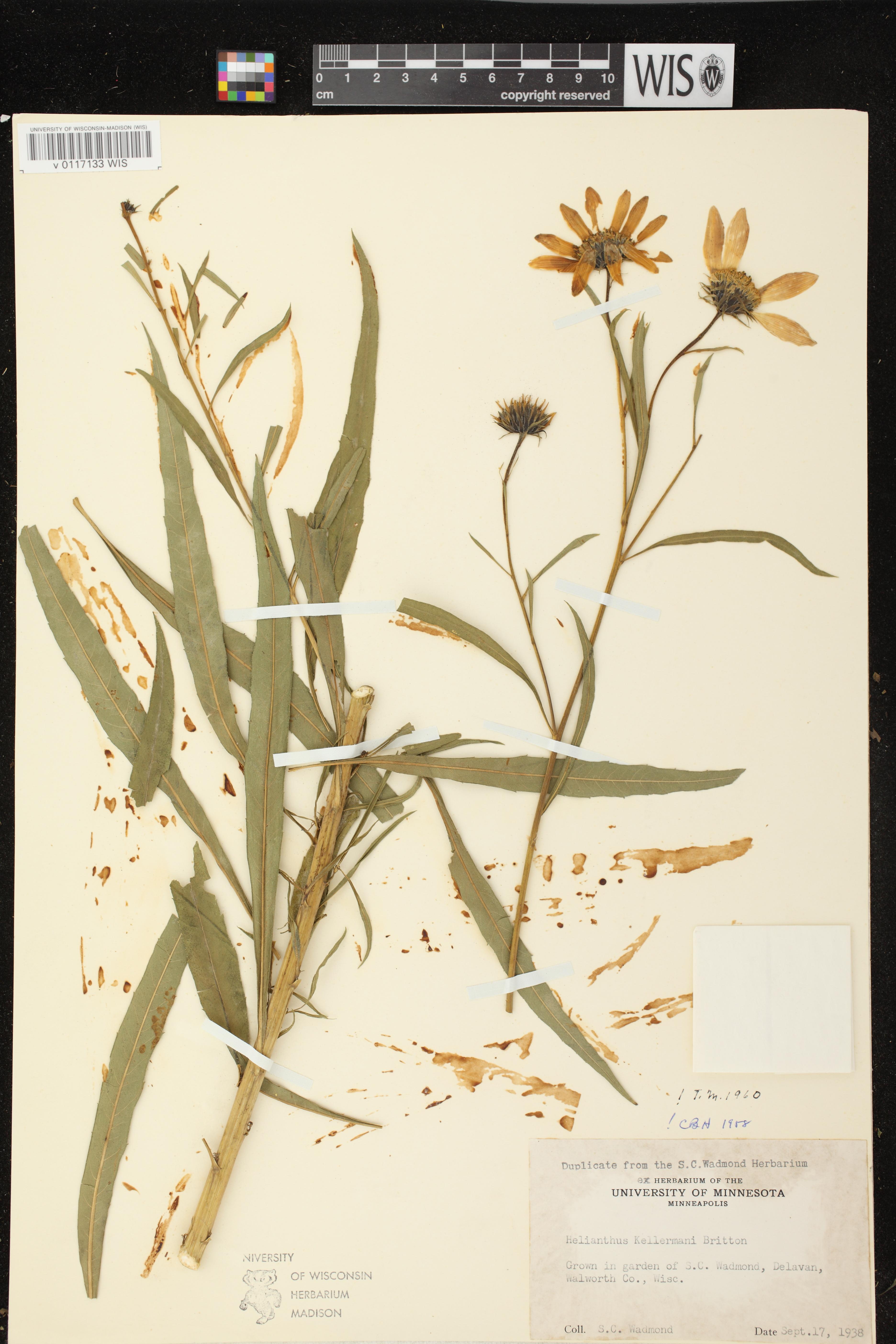 Image of Helianthus x kellermani