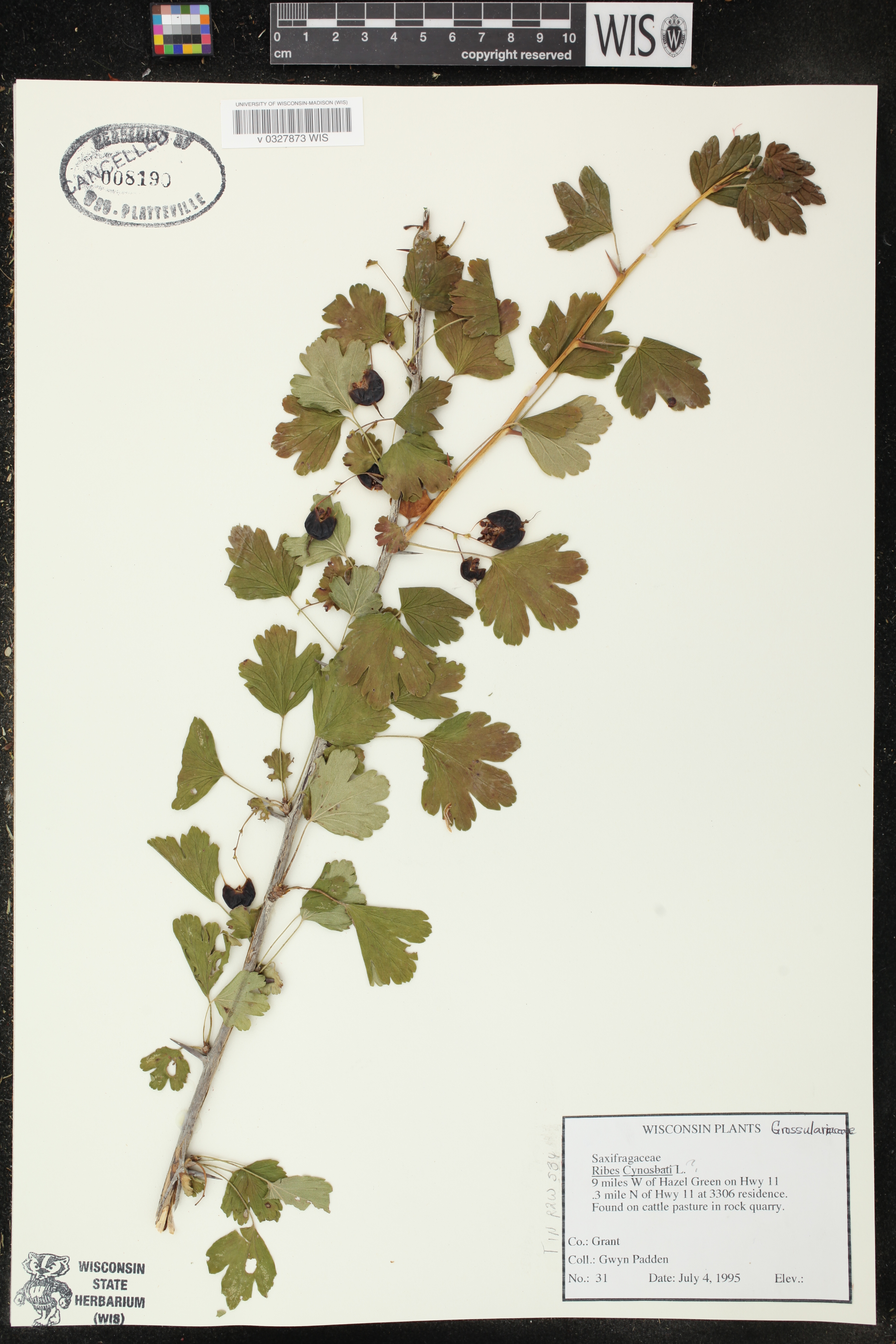 Image of Ribes