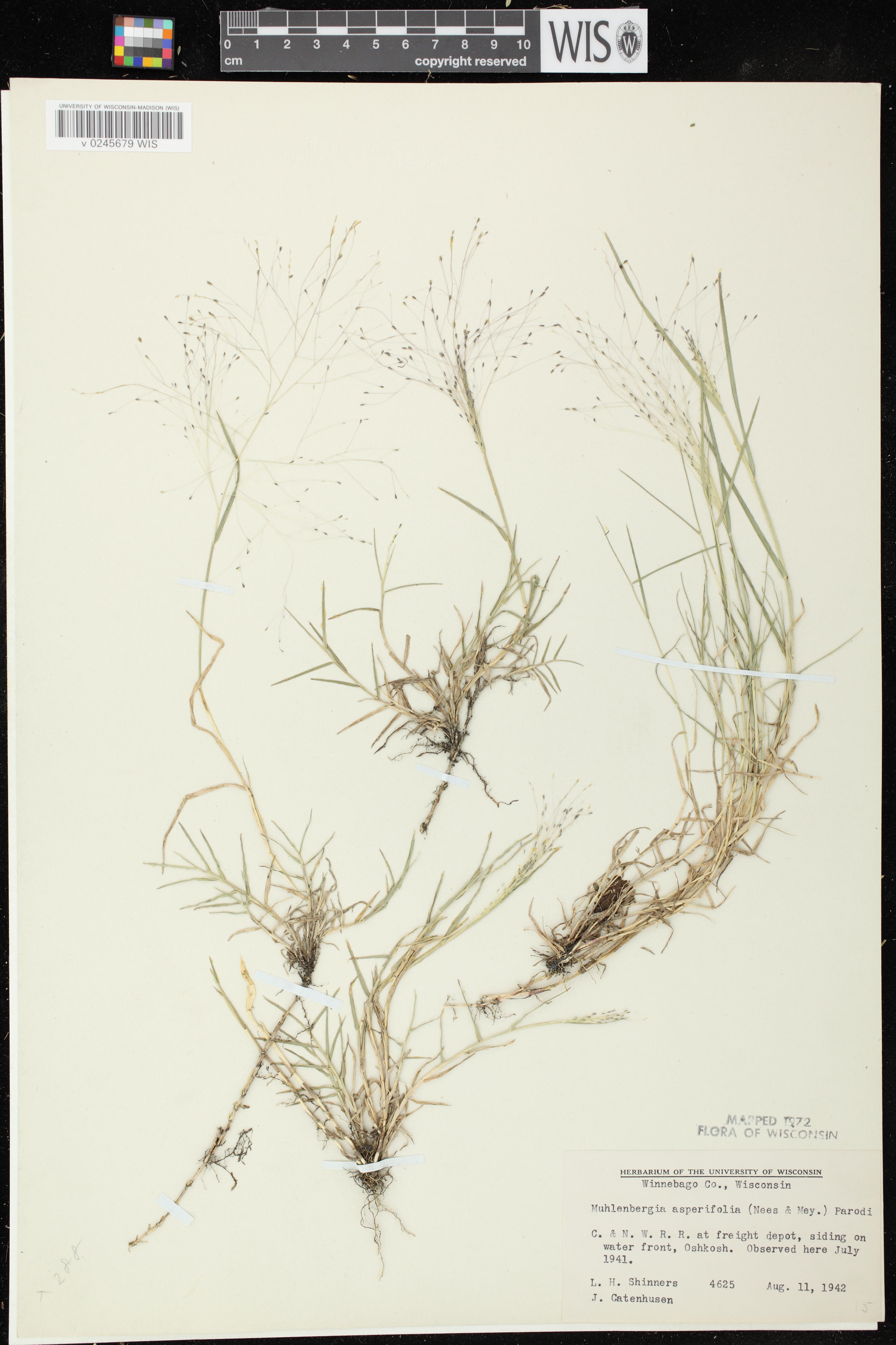 Image of Muhlenbergia asperifolia