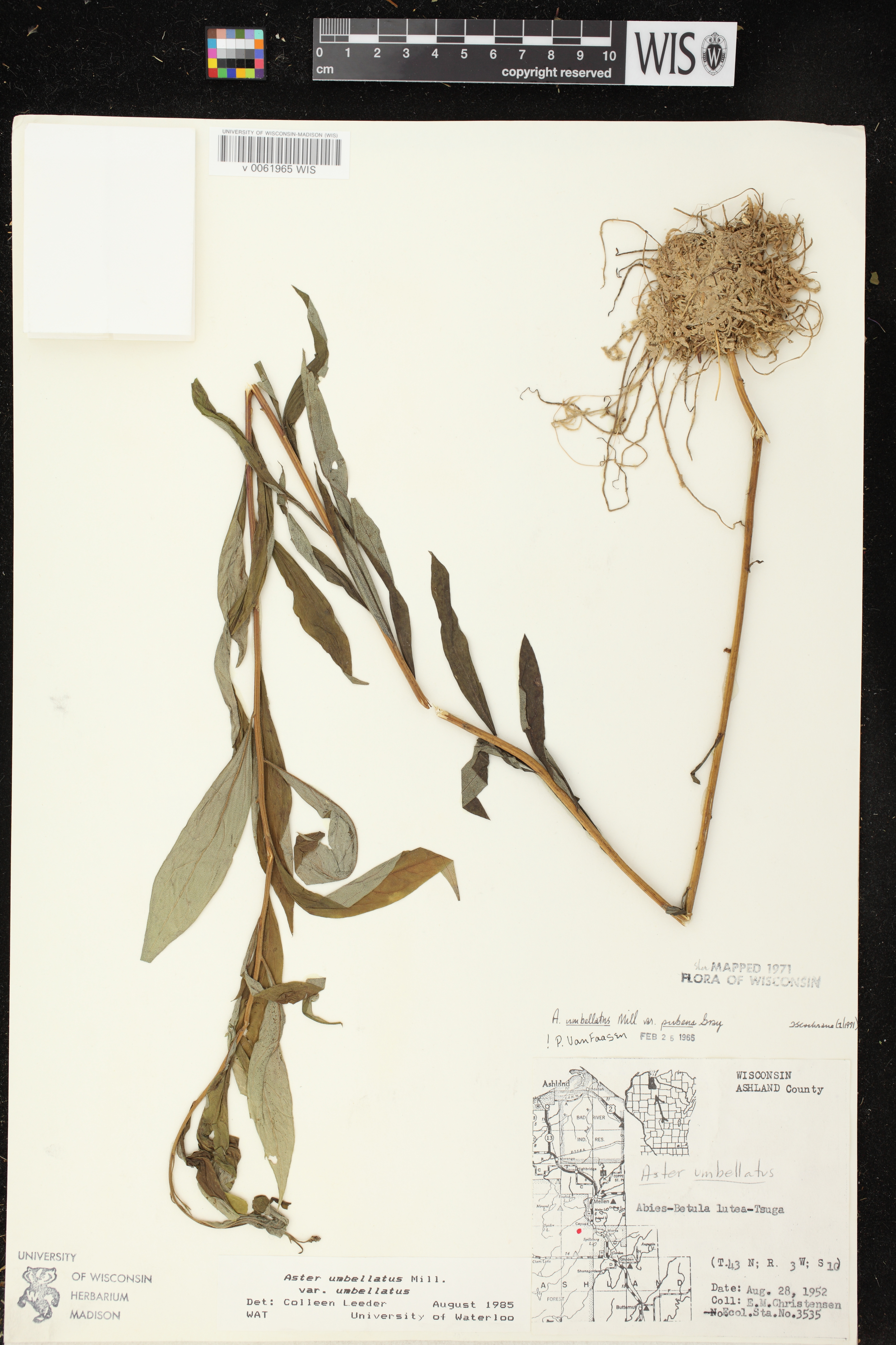 Image of Doellingeria umbellata var. umbellata