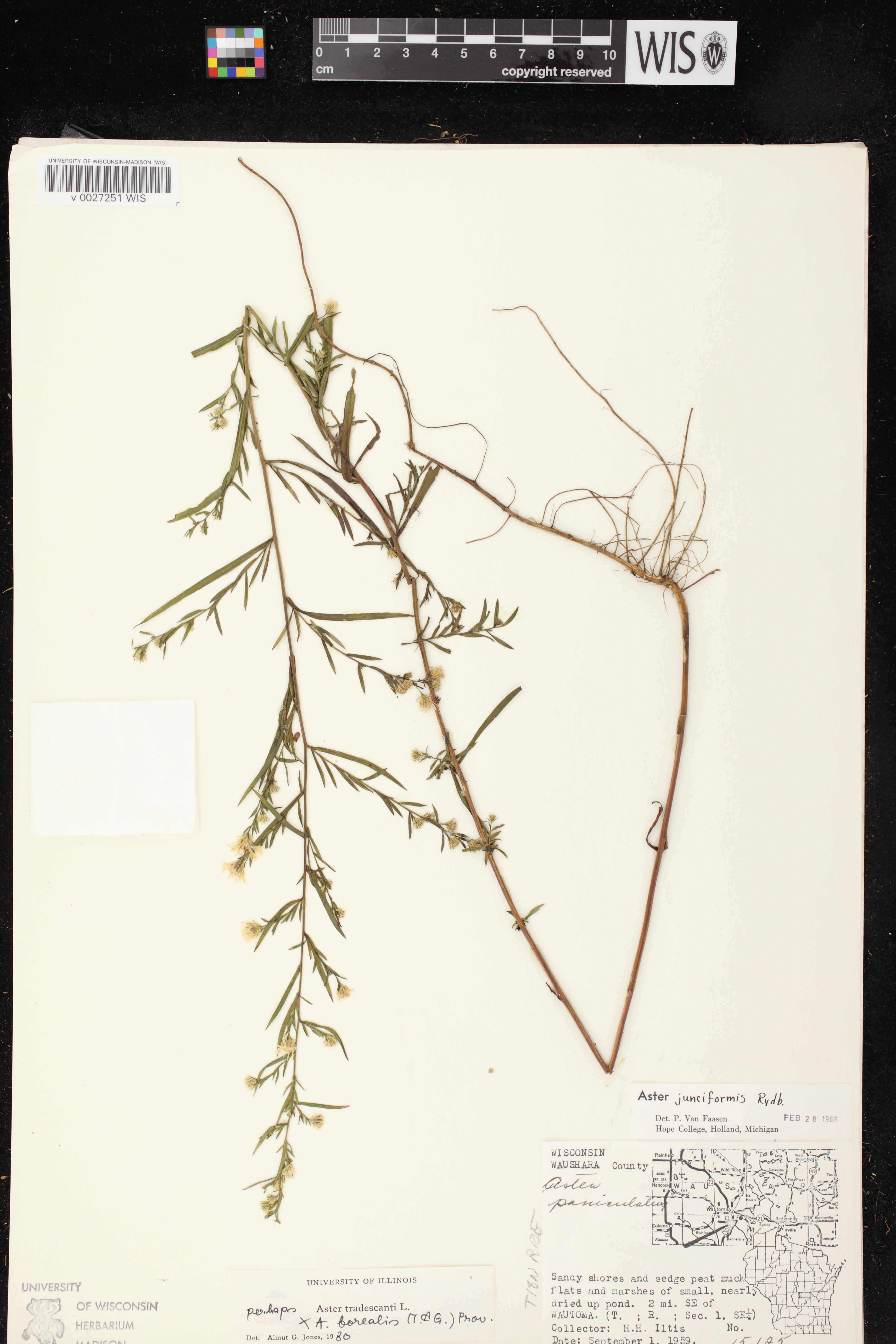 Image of Symphyotrichum boreale x s. lanceolatum var. lanceolatum