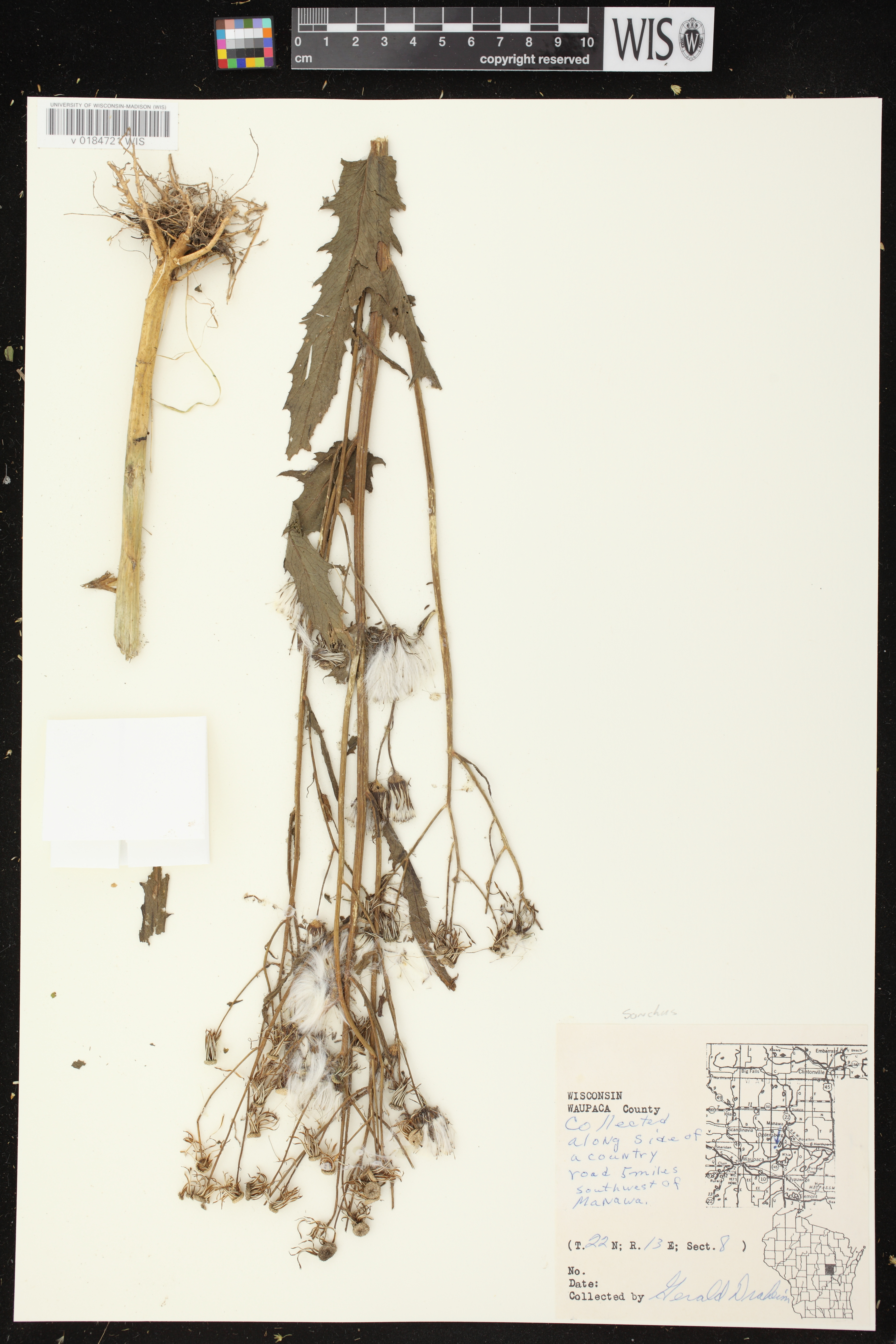Image of Sonchus