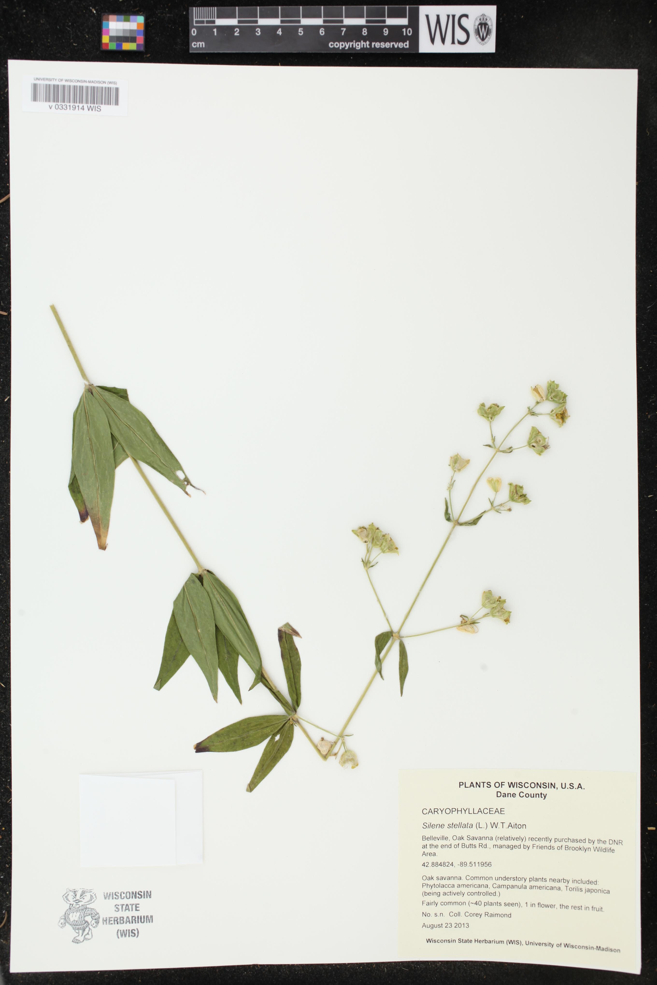 Image of Silene stellata