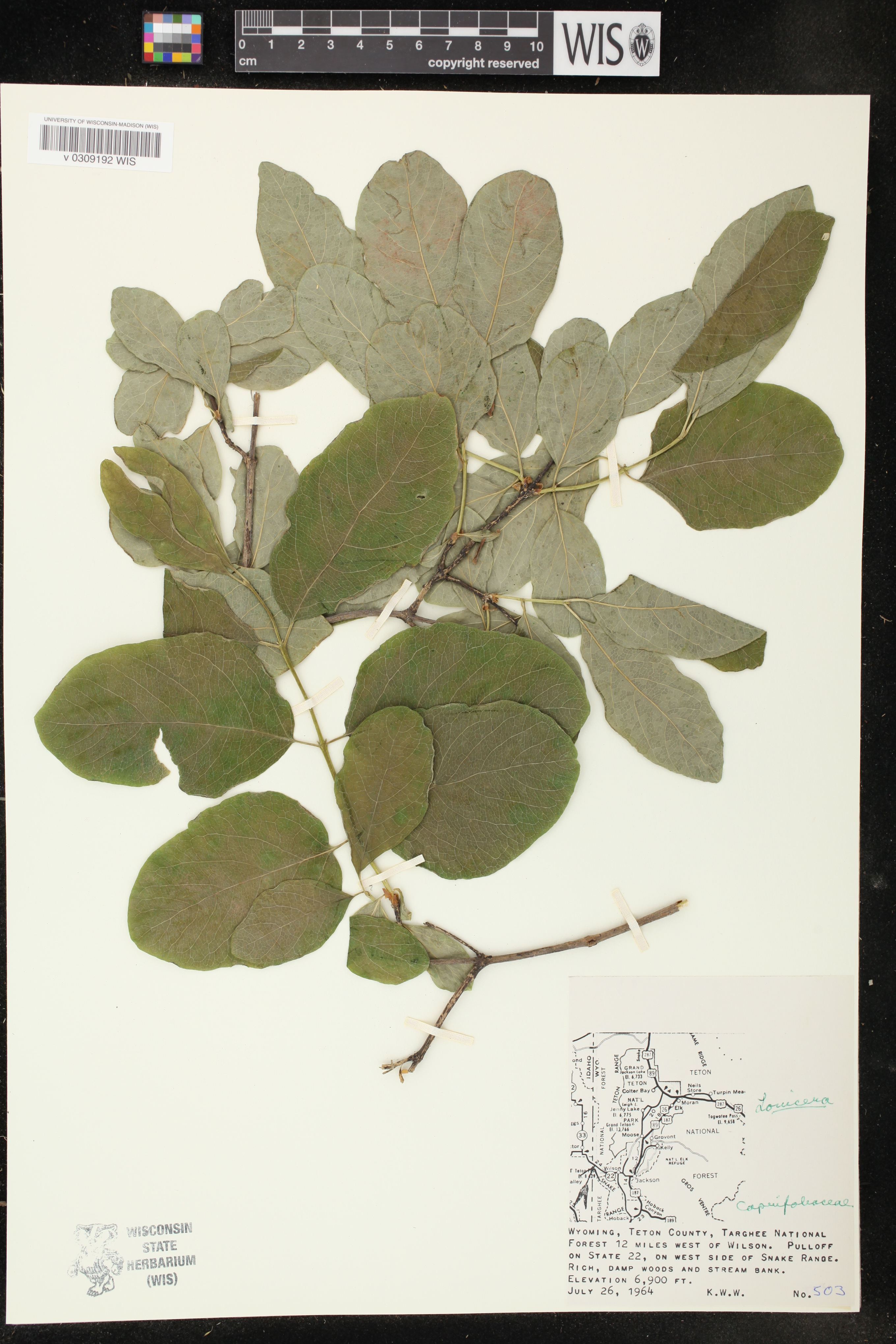 Image of Lonicera