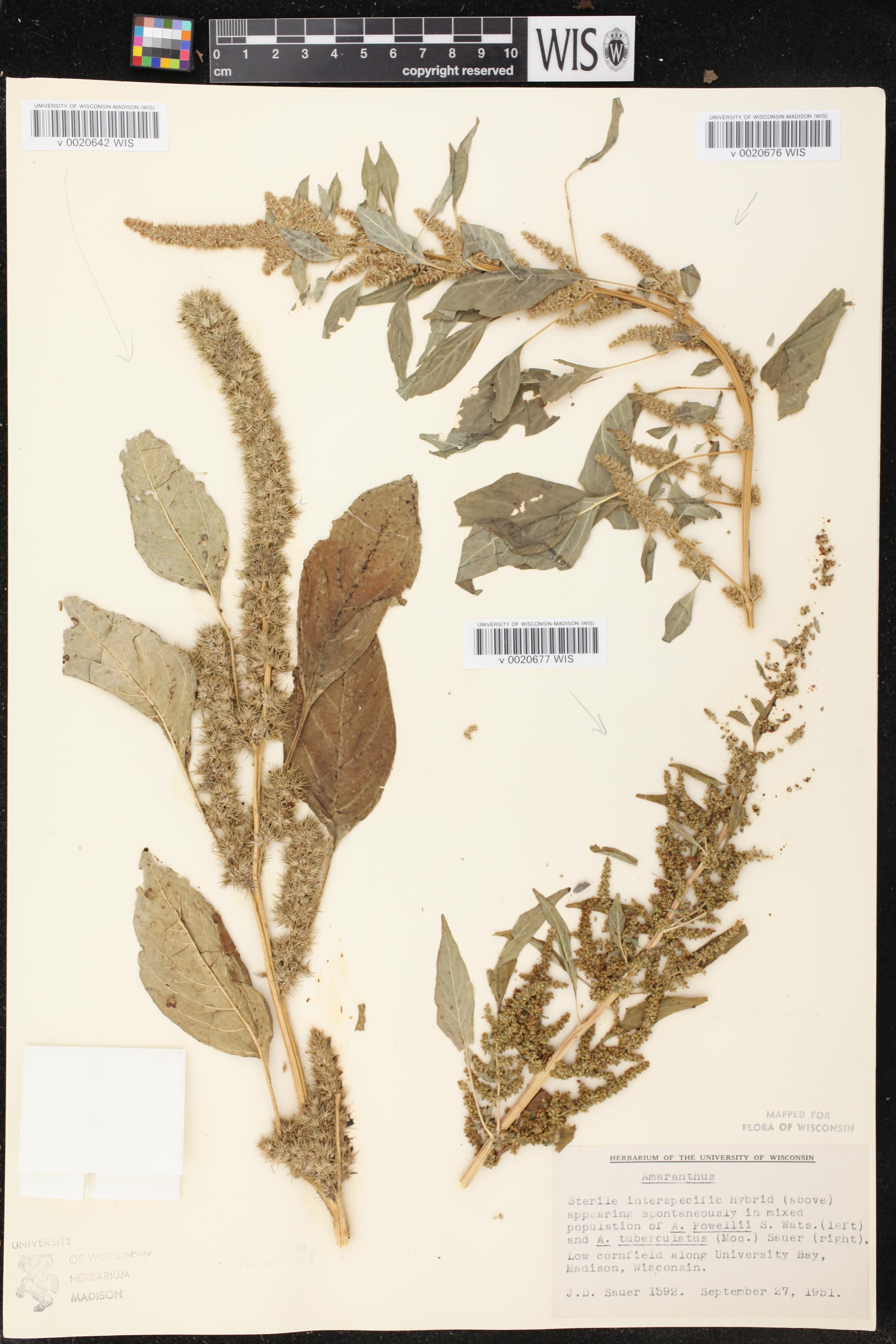 Image of Amaranthus powellii x a. tuberculatus
