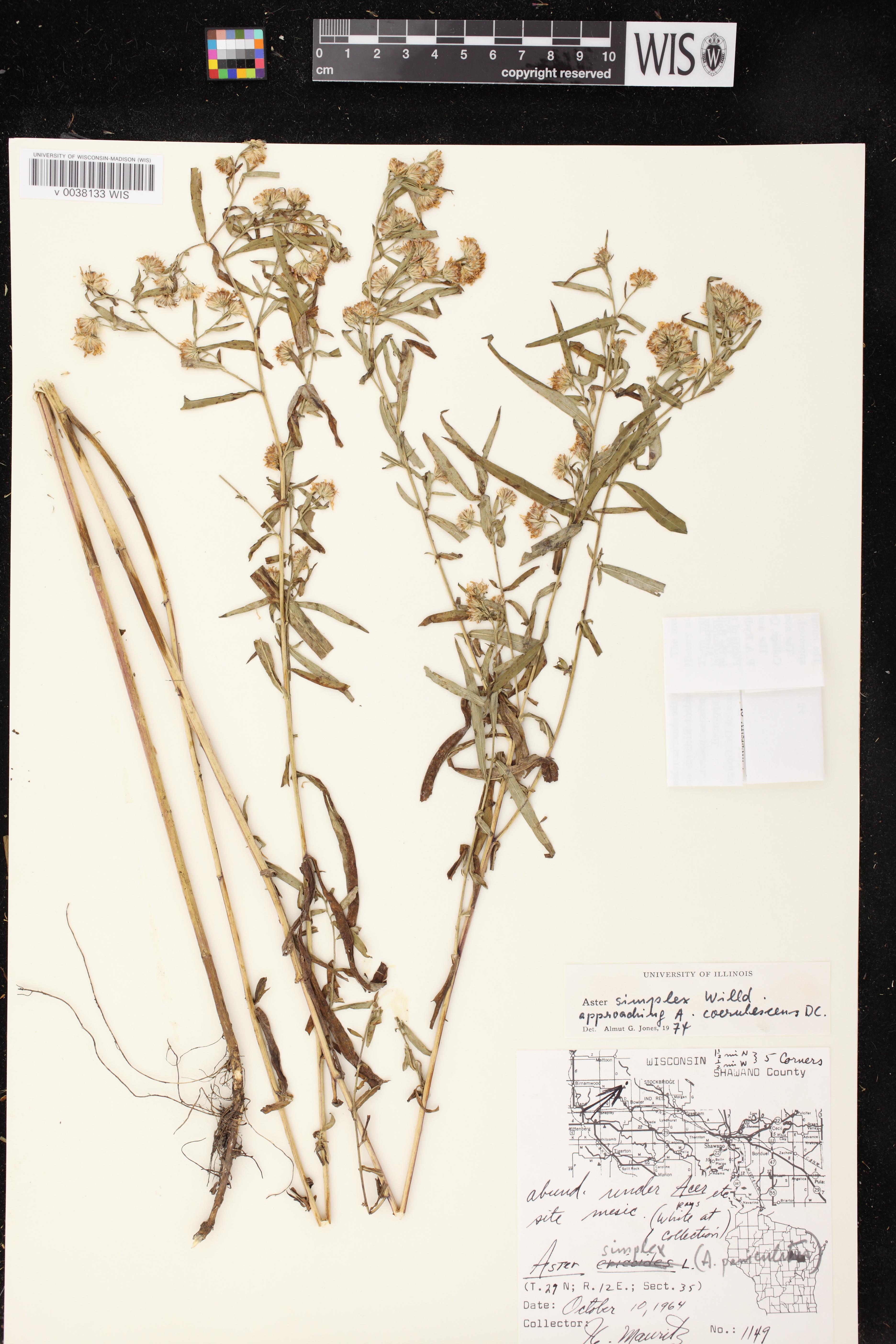 Image of Symphyotrichum lanceolatum var. lanceolatum x s. praealtum