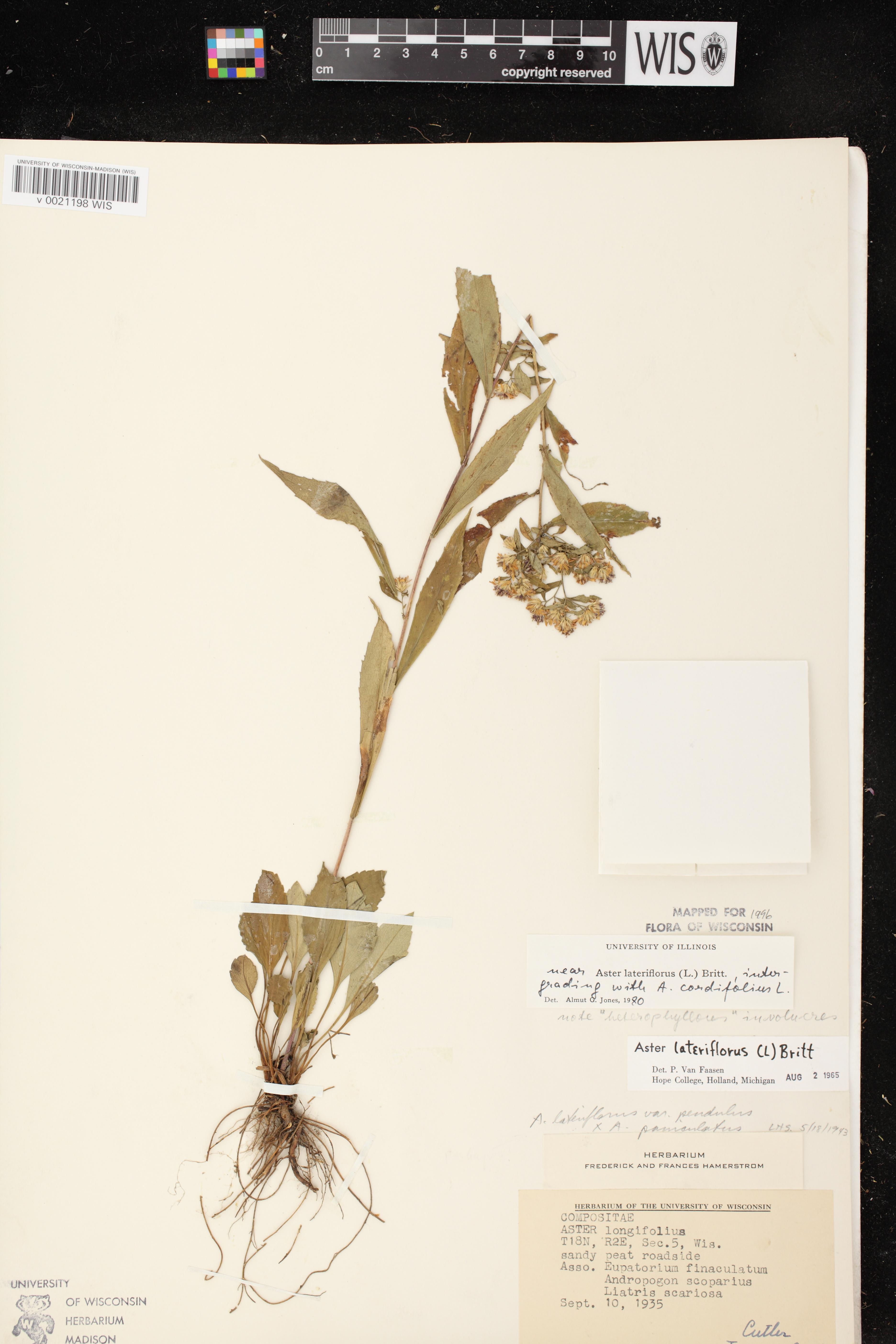 Image of Symphyotrichum cordifolium x s. lateriflorum