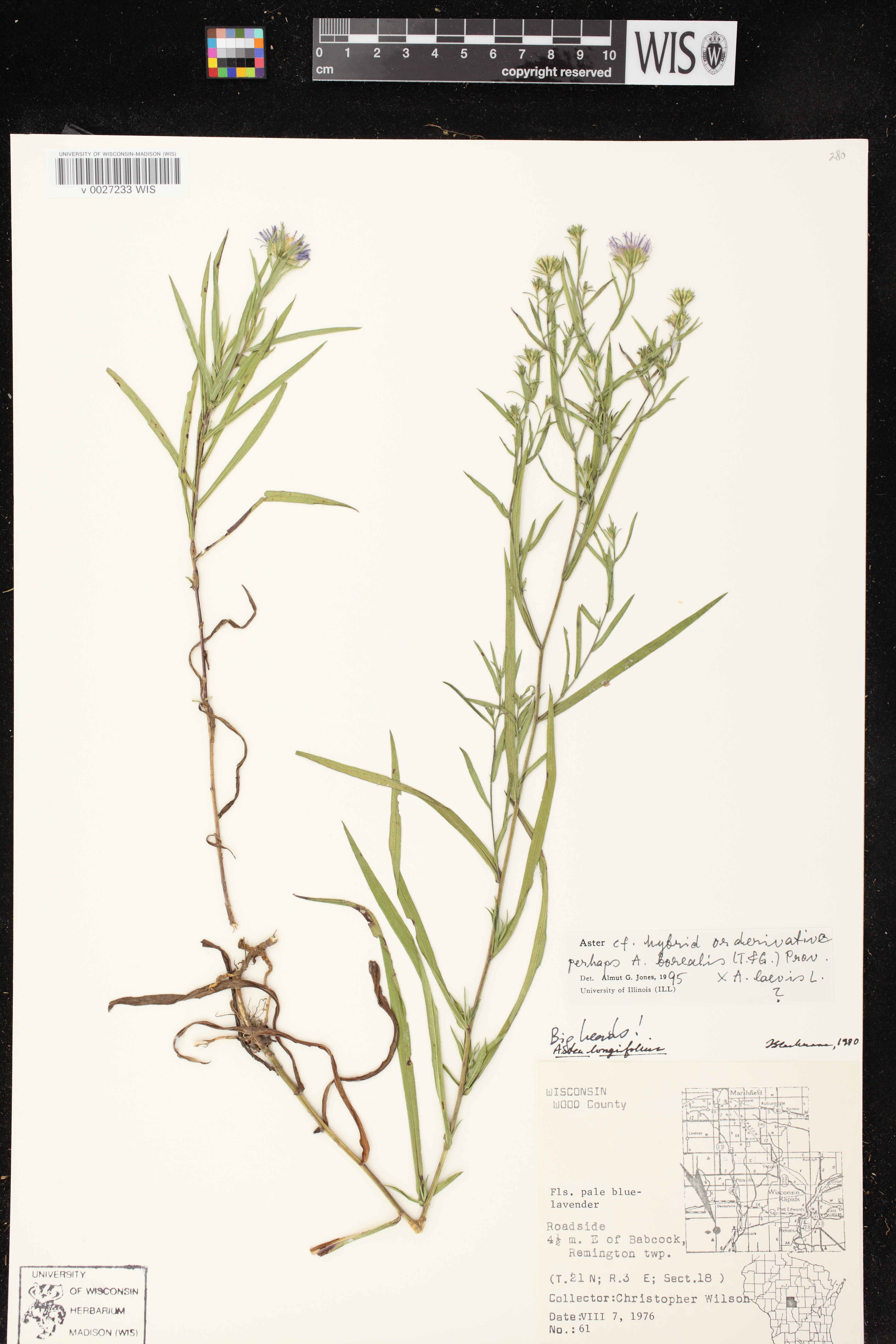 Image of Symphyotrichum boreale x s. laeve