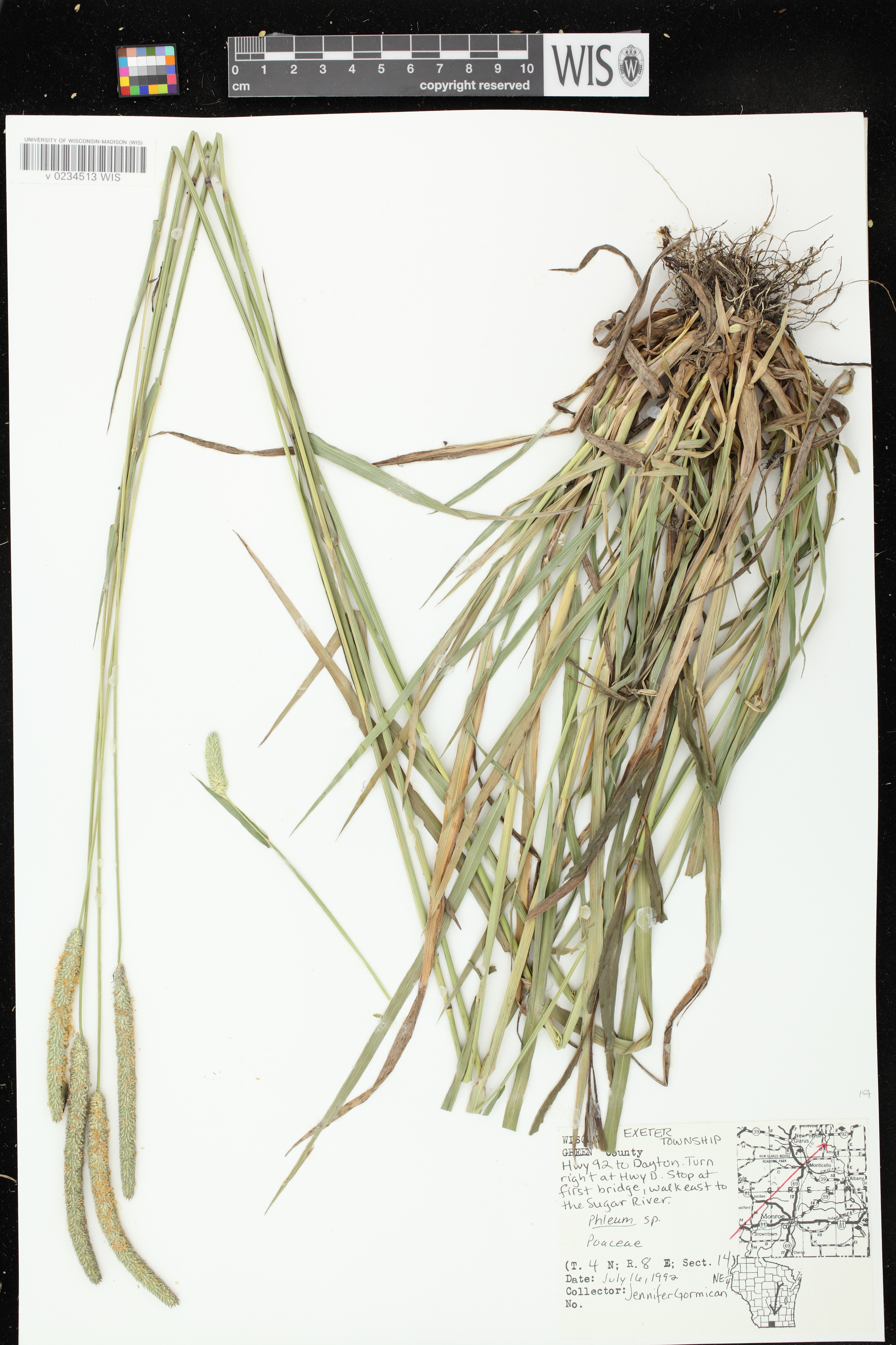 Image of Phleum