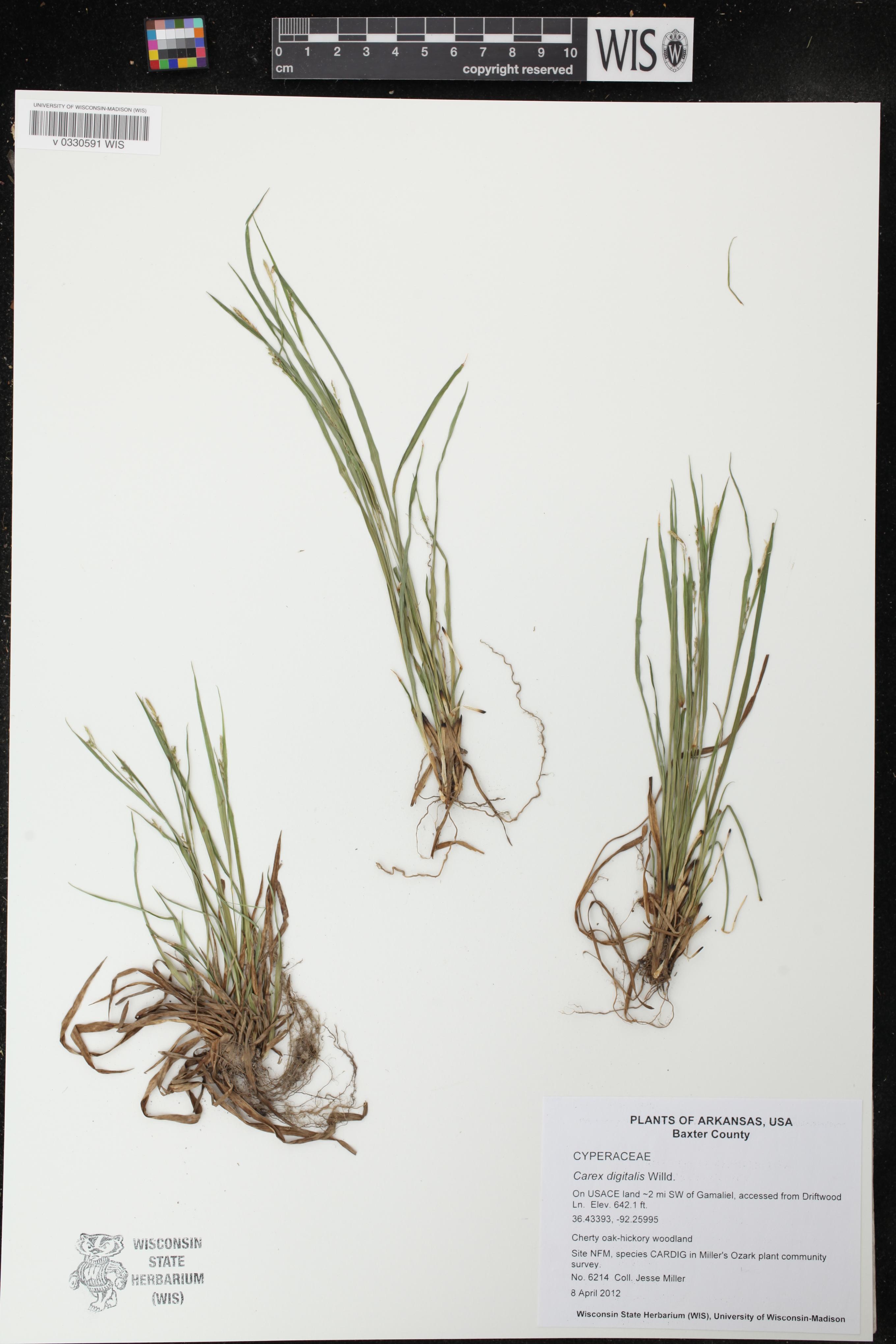 Image of Carex digitalis