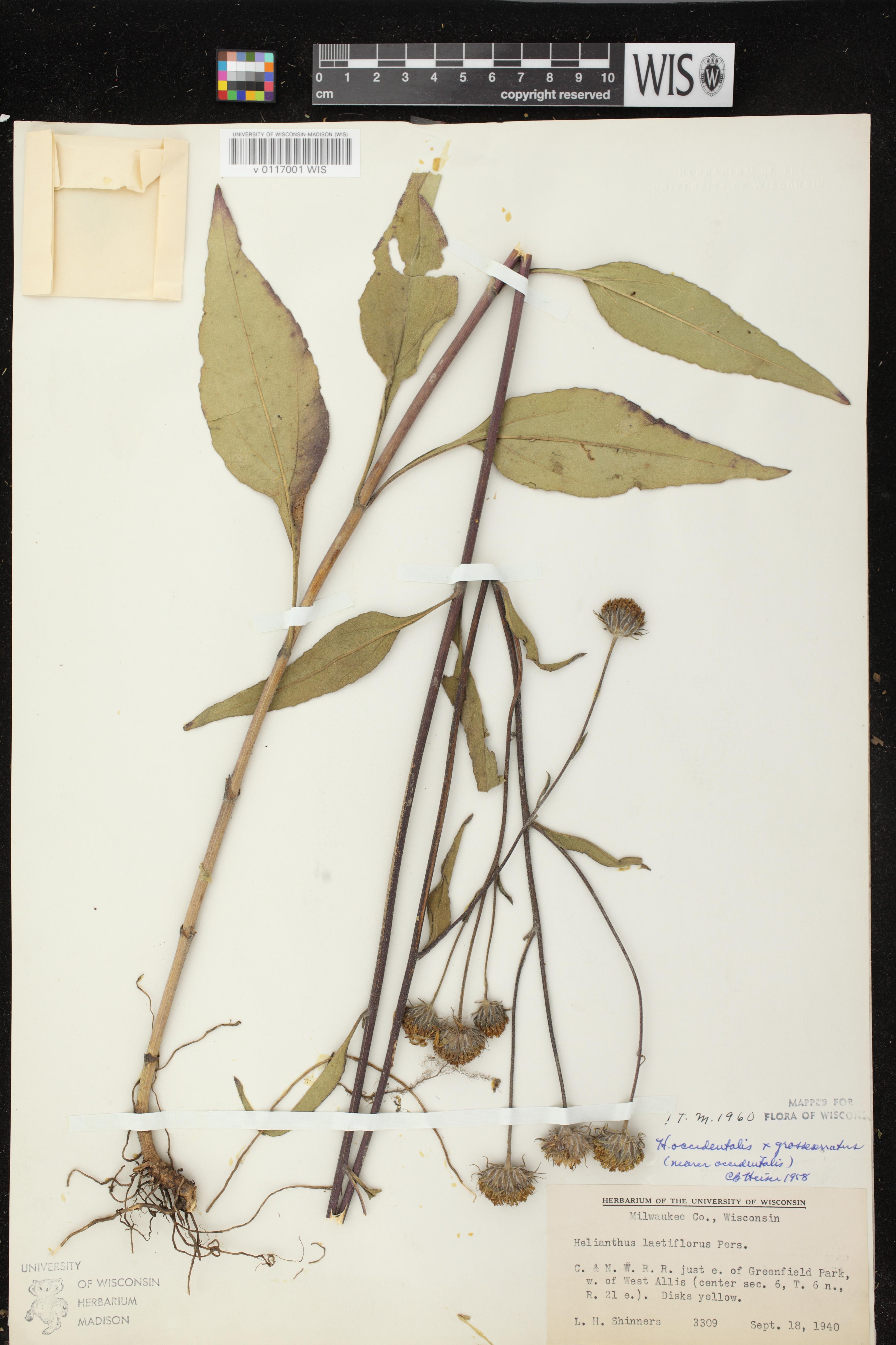 Image of Helianthus grosseserratus x h. occidentalis
