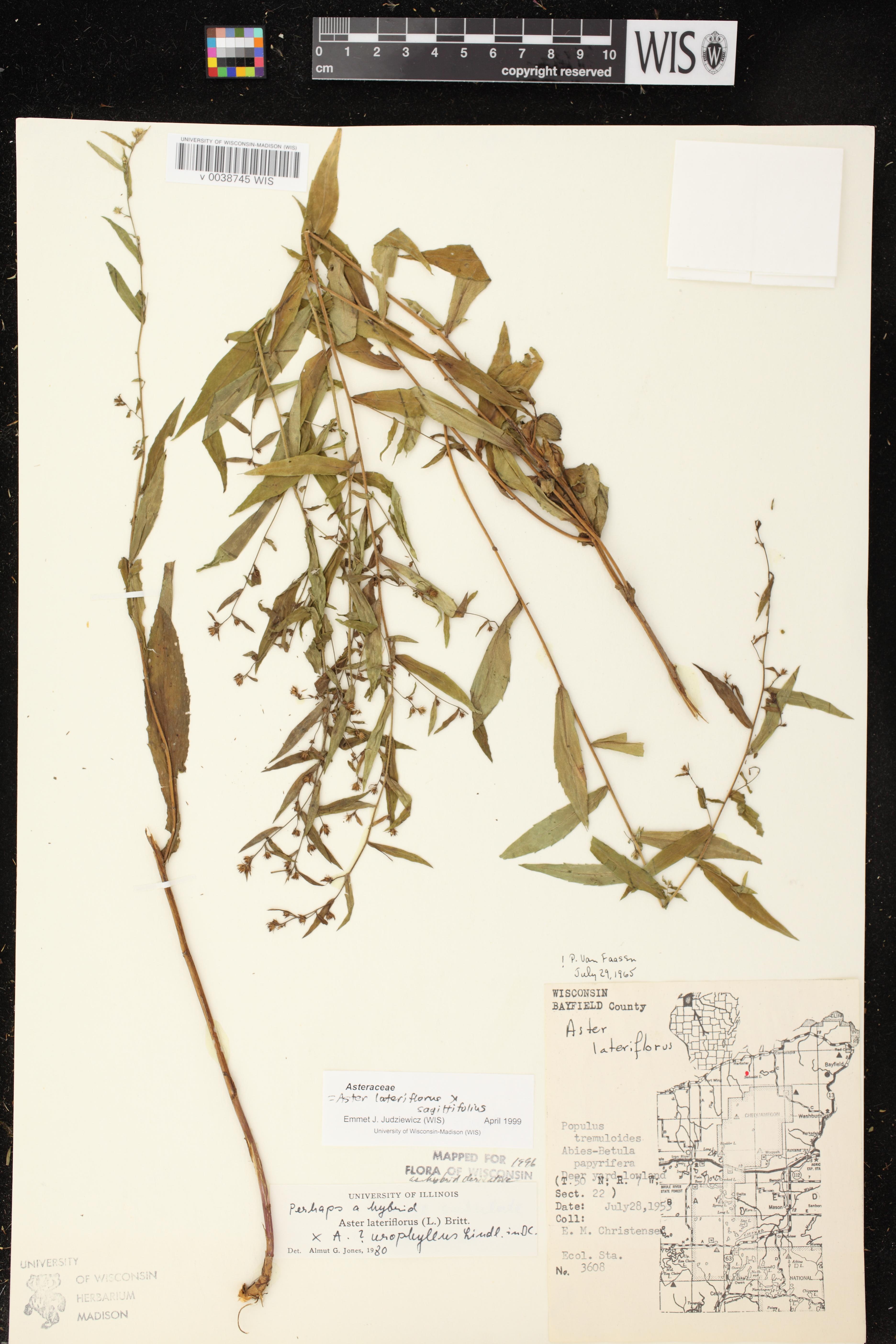 Image of Symphyotrichum lateriflorum x s. urophuyllum