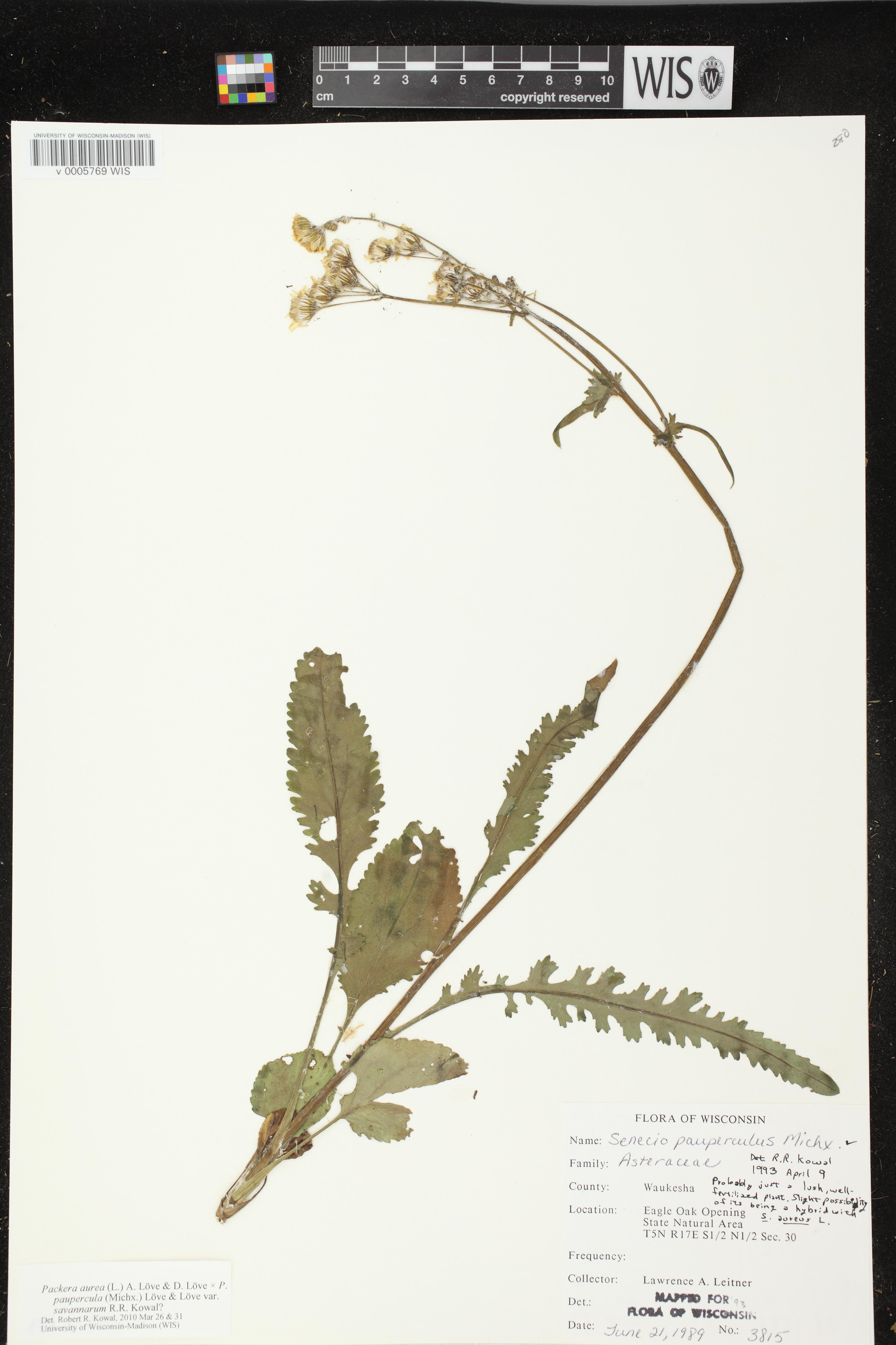 Image of Packera aurea x p. paupercula
