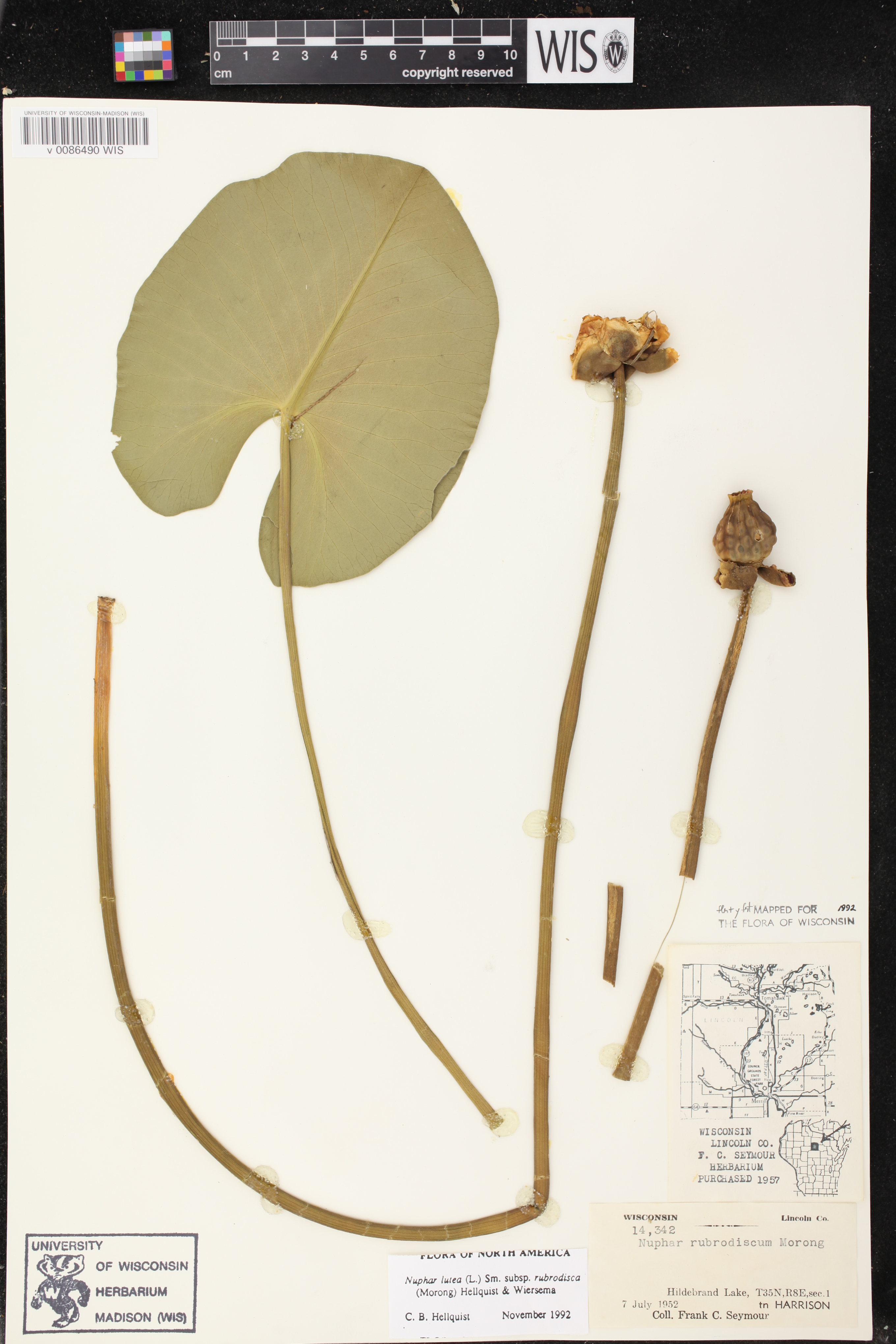 Image of Nuphar x rubrodisca