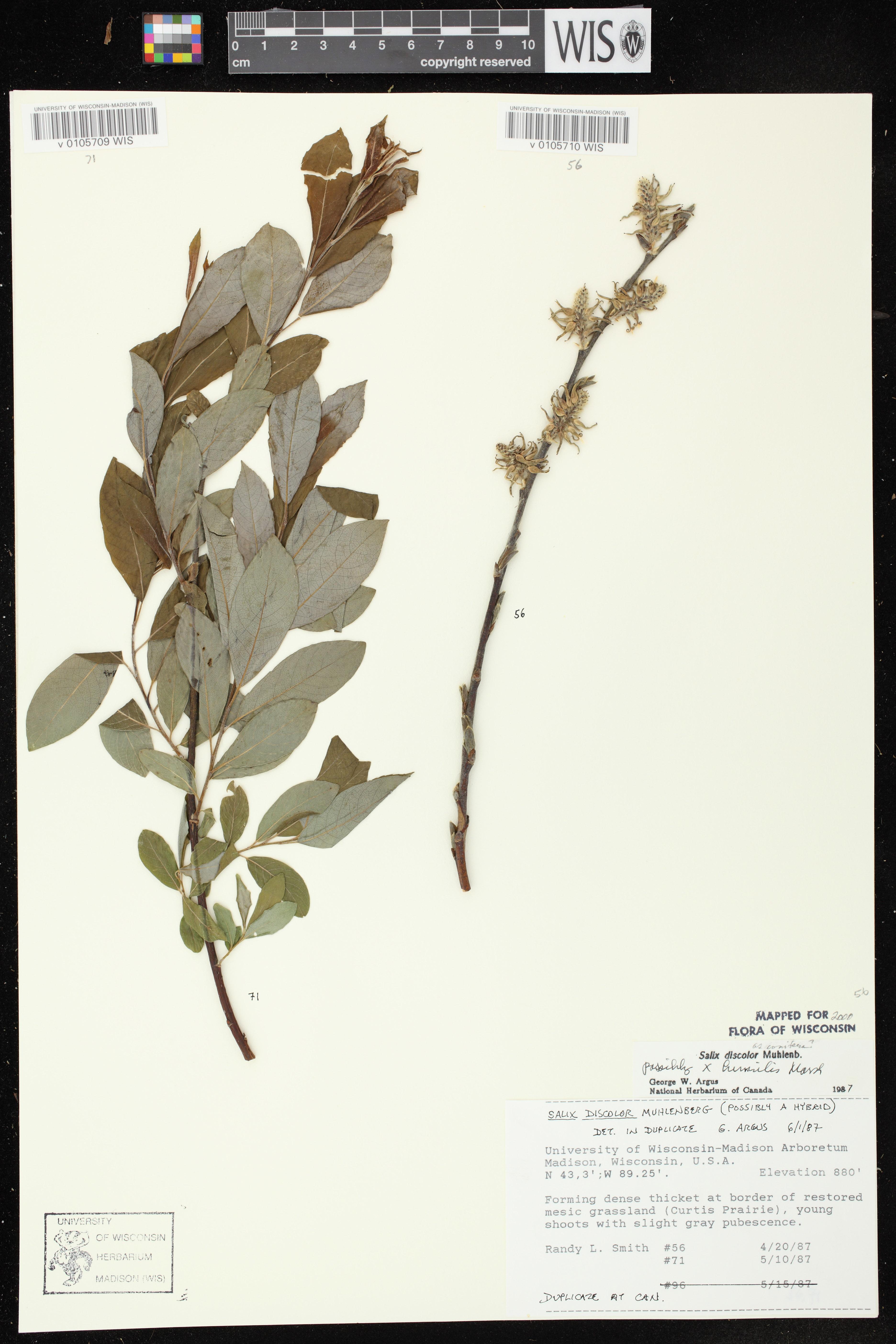 Image of Salix x conifera