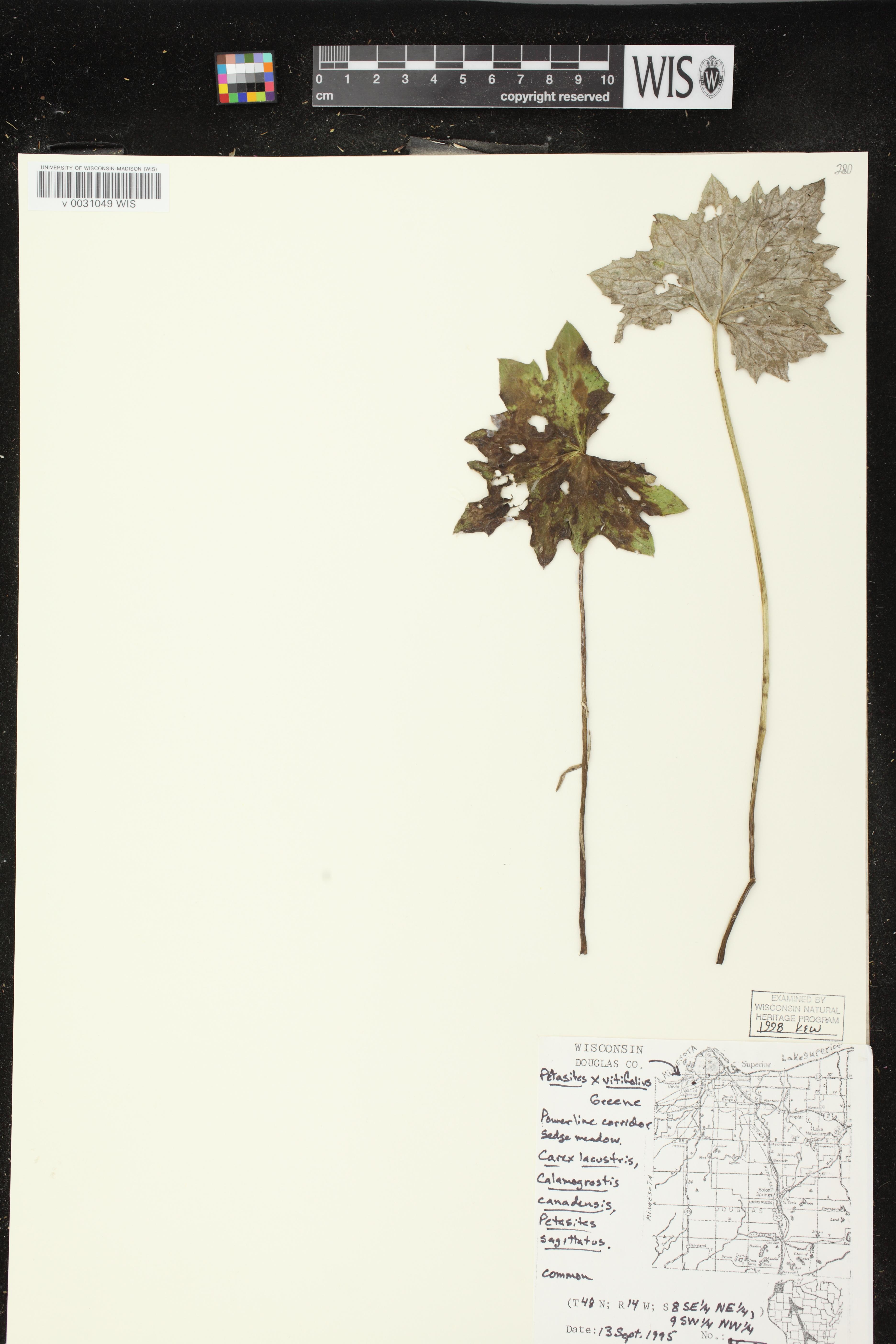 Image of Petasites frigidus var. vitifolius