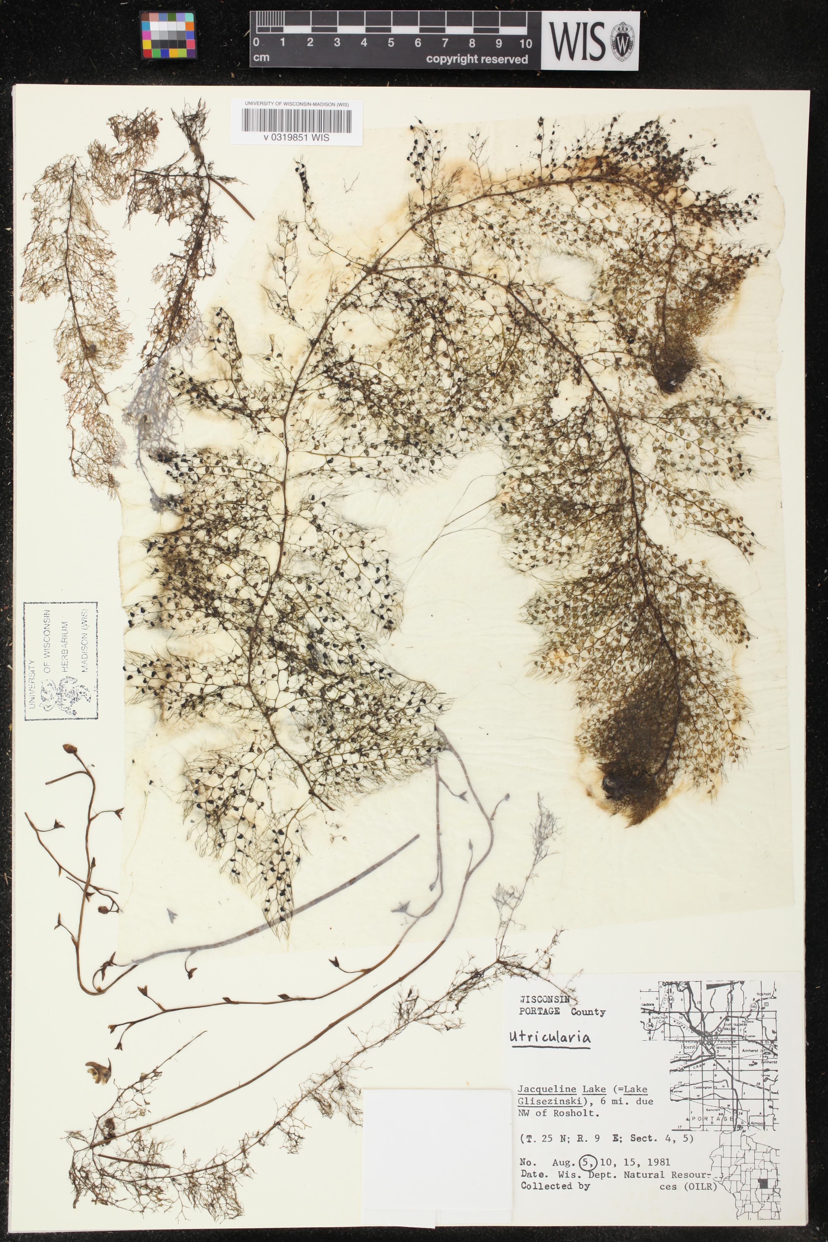 Image of Utricularia