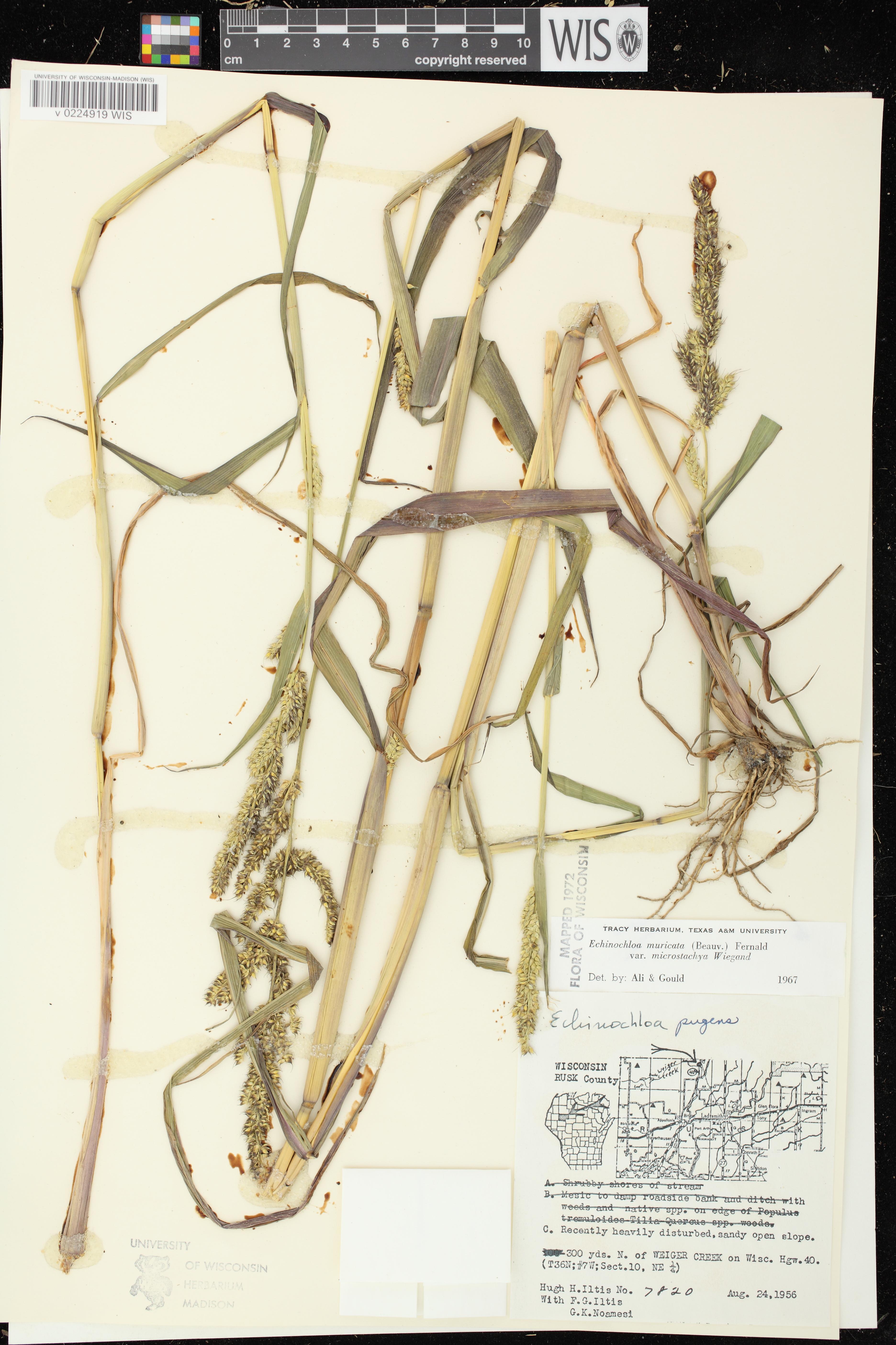 Echinochloa muricata var. microstachya image