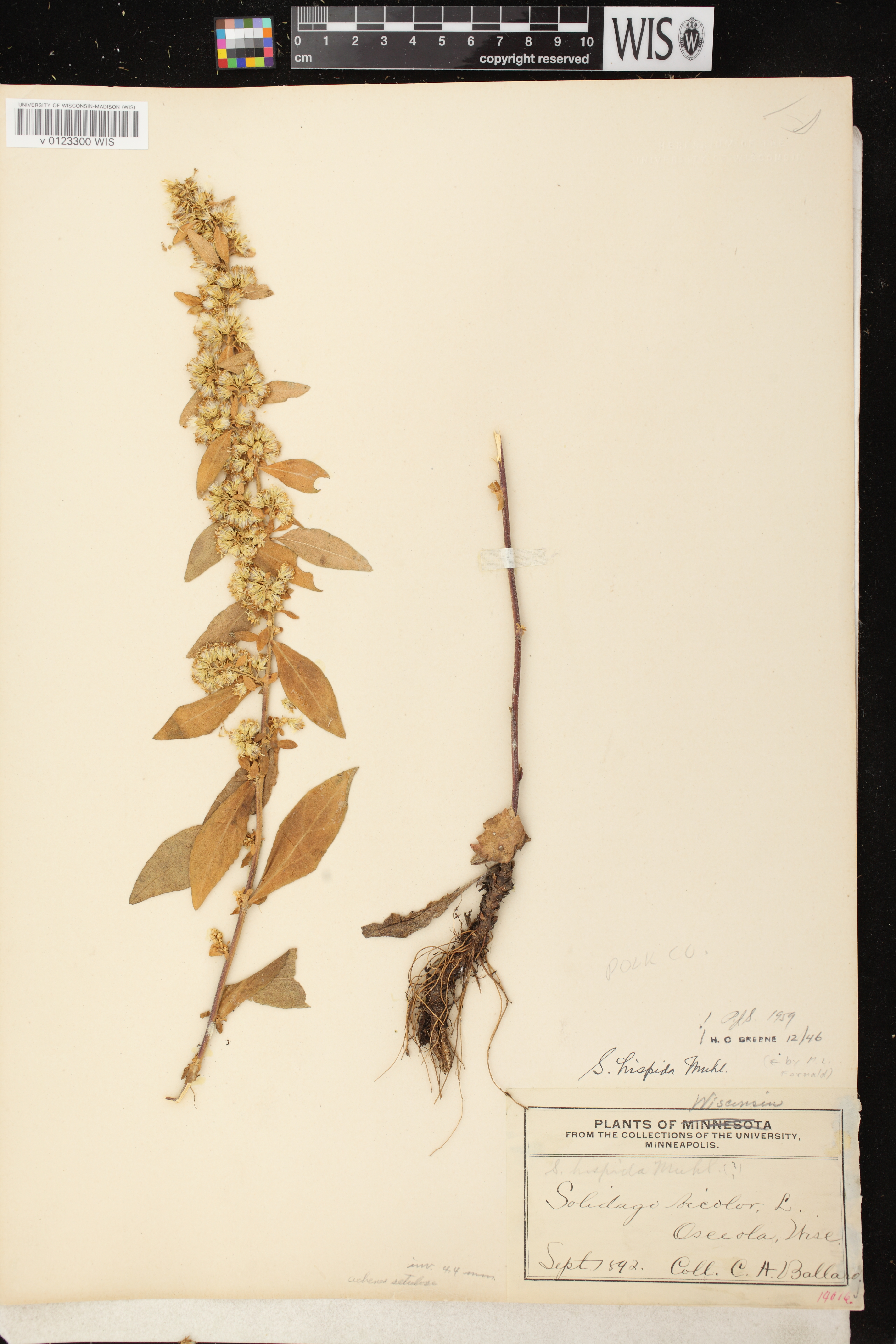 Image of Solidago hispida