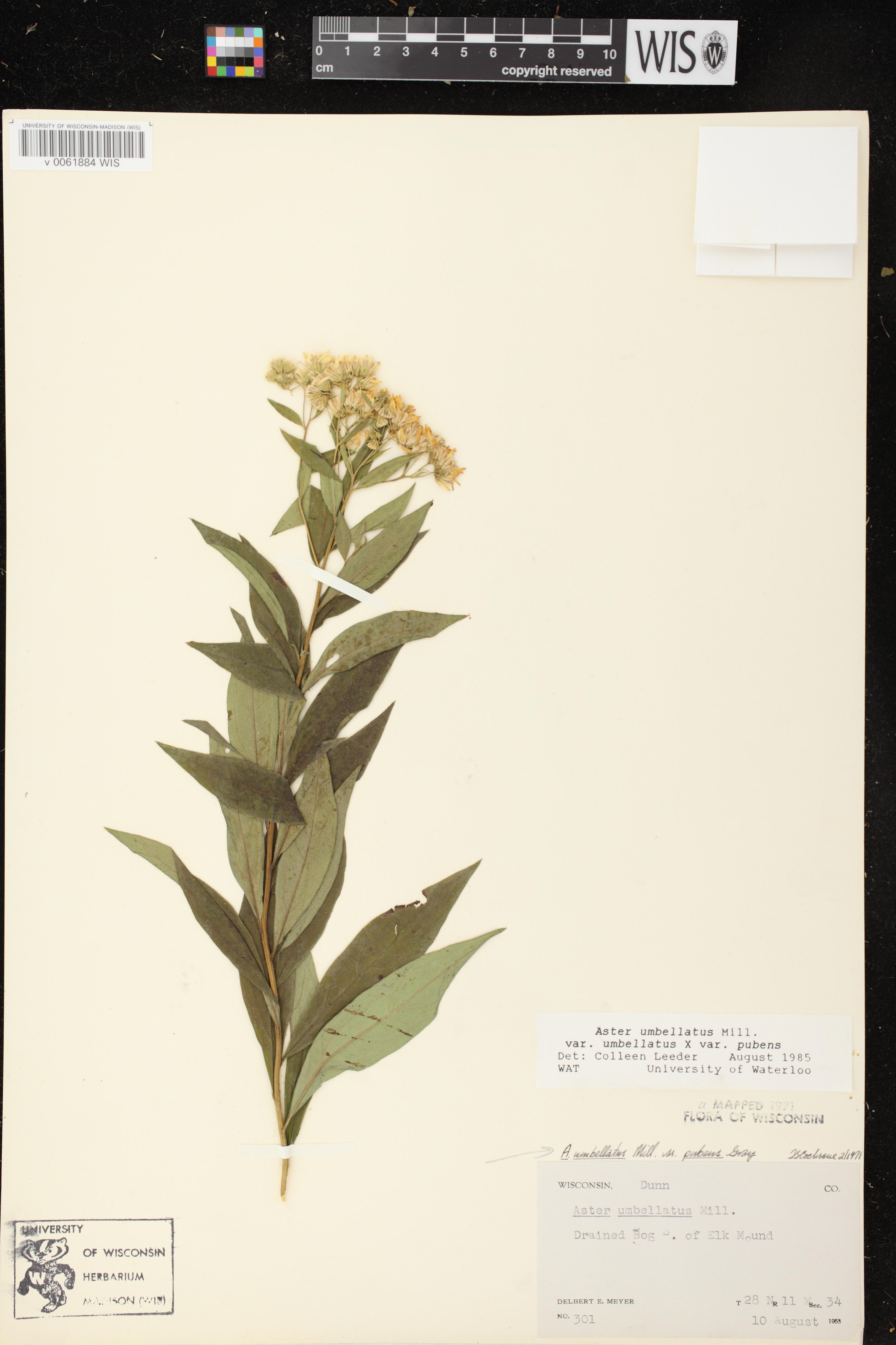 Image of Doellingeria umbellata var. pubens