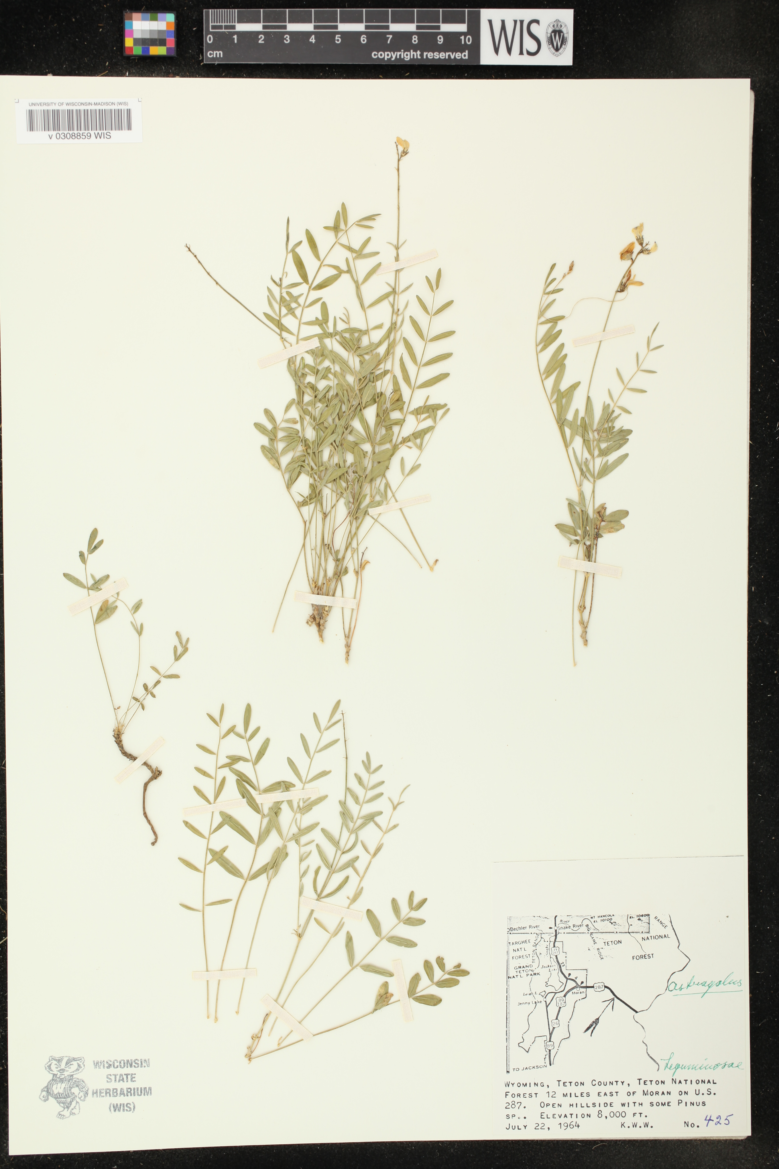 Image of Astragalus